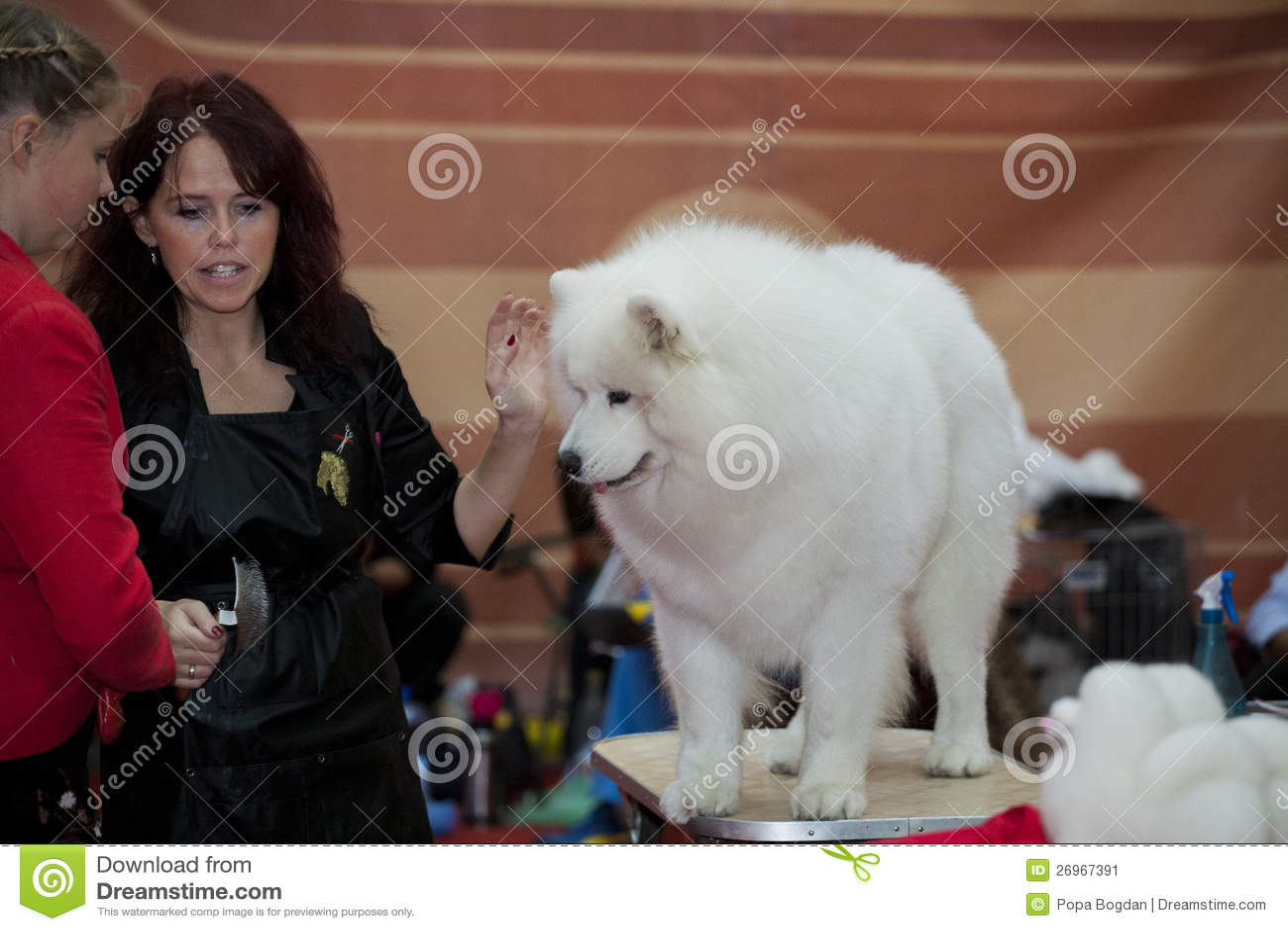 色狗与人弄的直流水_处理程序和他的在eukanuba狗展示的萨莫耶特人.