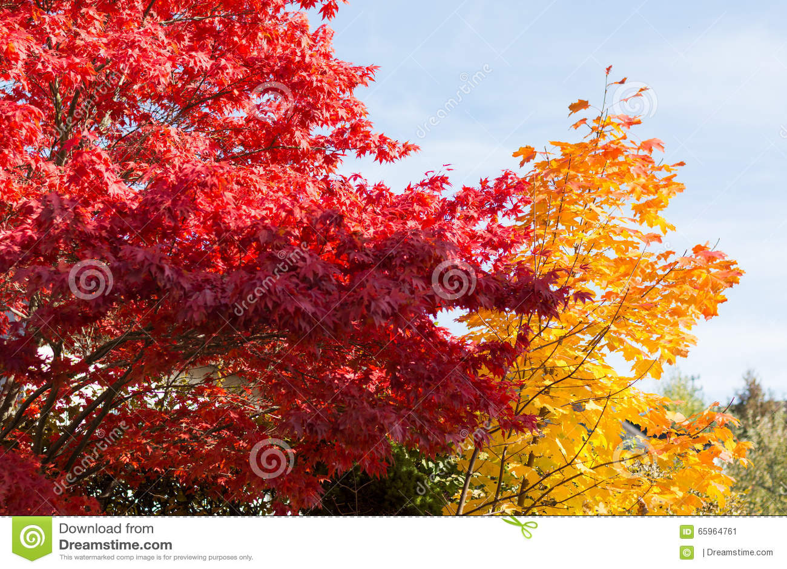 把强烈地光亮落叶树,变色在秋叶.图片