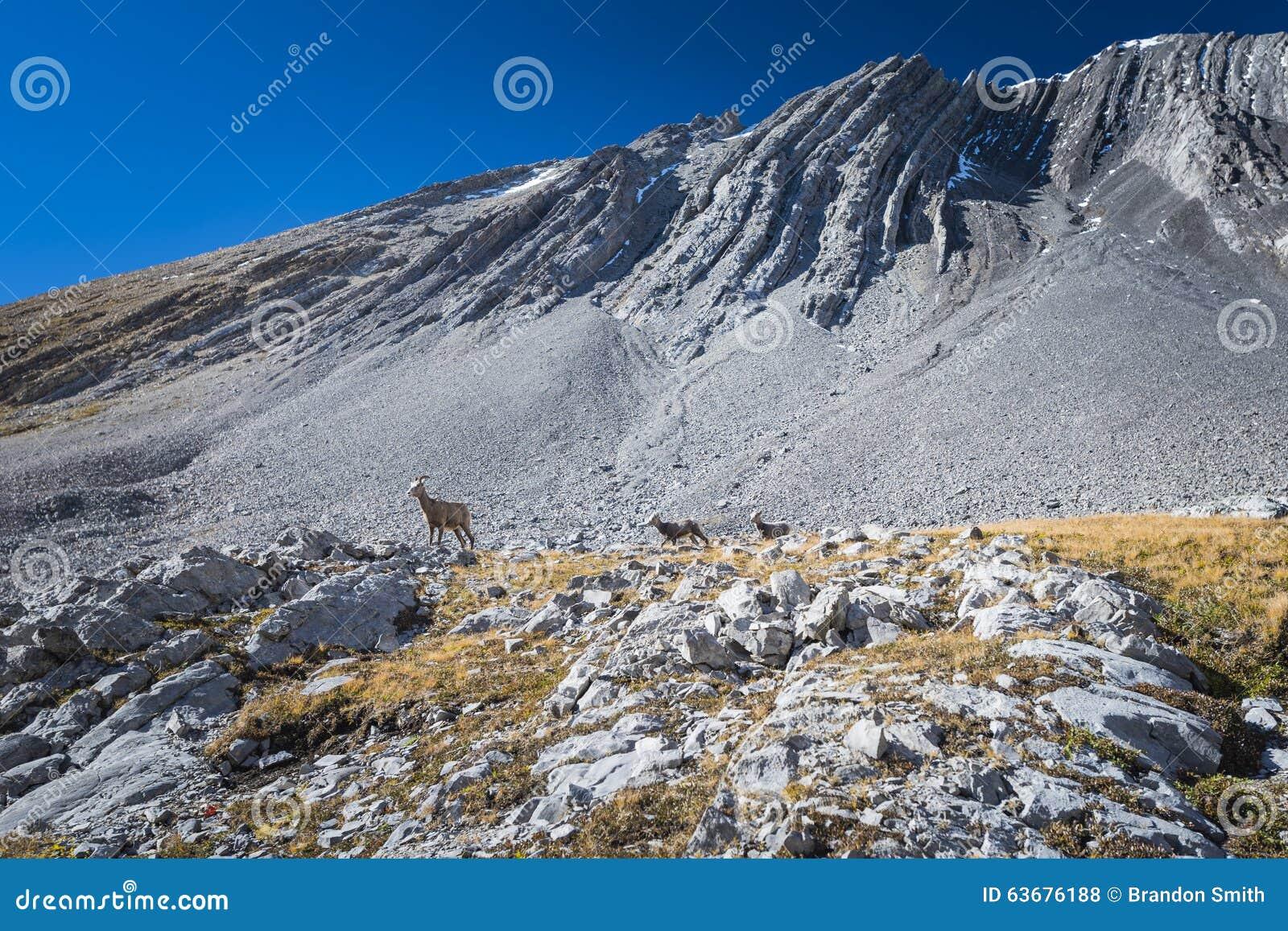 落矶山脉大有角的绵羊