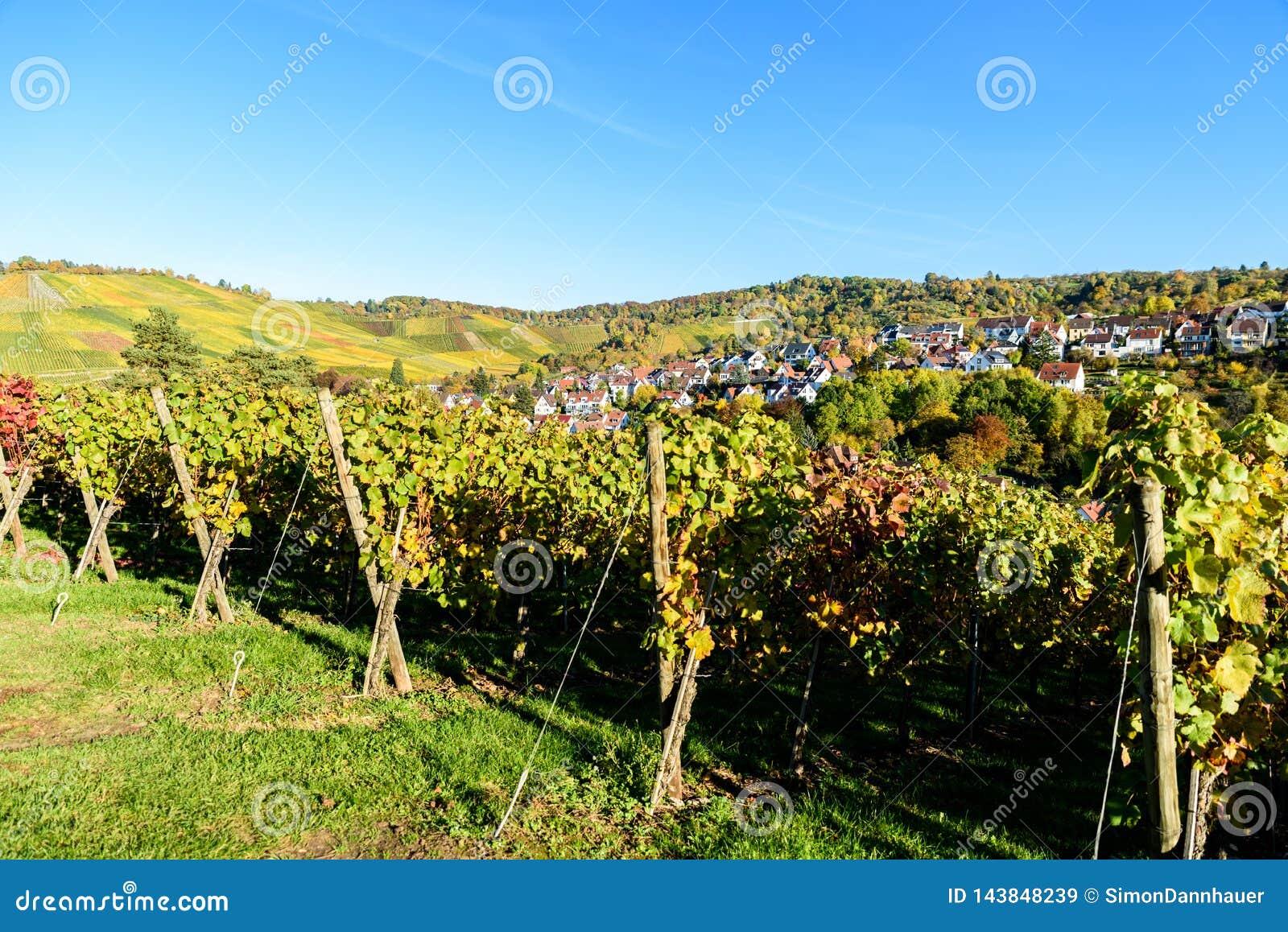 葡萄园在斯图加特,在内卡河谷的Uhlbach -在autum的美好的风景在德国
