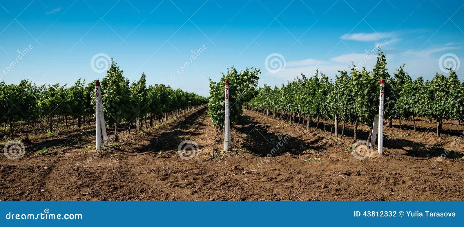葡萄园,葡萄耕种,藤