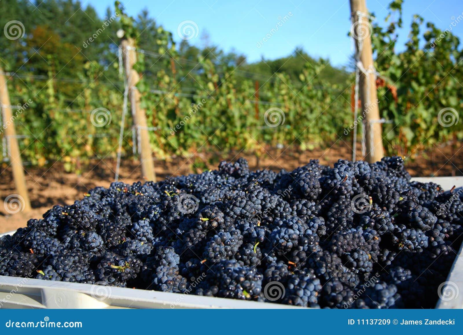 葡萄收获noir白比诺葡萄