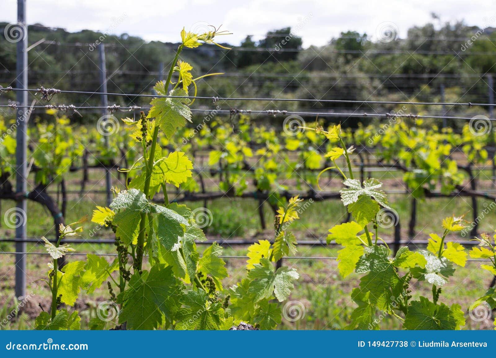 葡萄树植物行在意大利葡萄园里