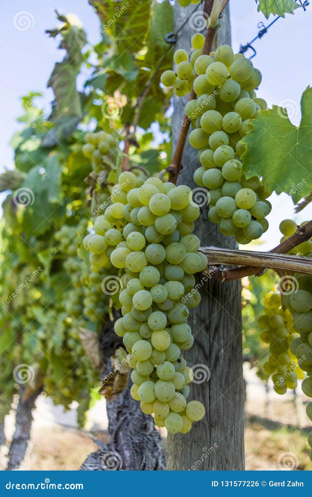 葡萄树用明亮的葡萄和莓果在明媚的阳光和天空蔚蓝下