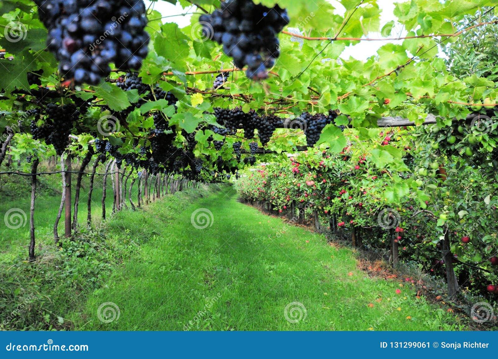 葡萄树用蓝色果子在意大利
