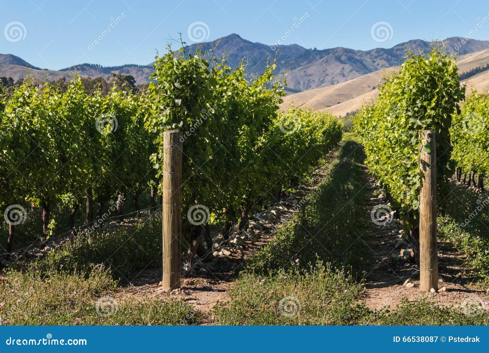 葡萄树行在葡萄园里