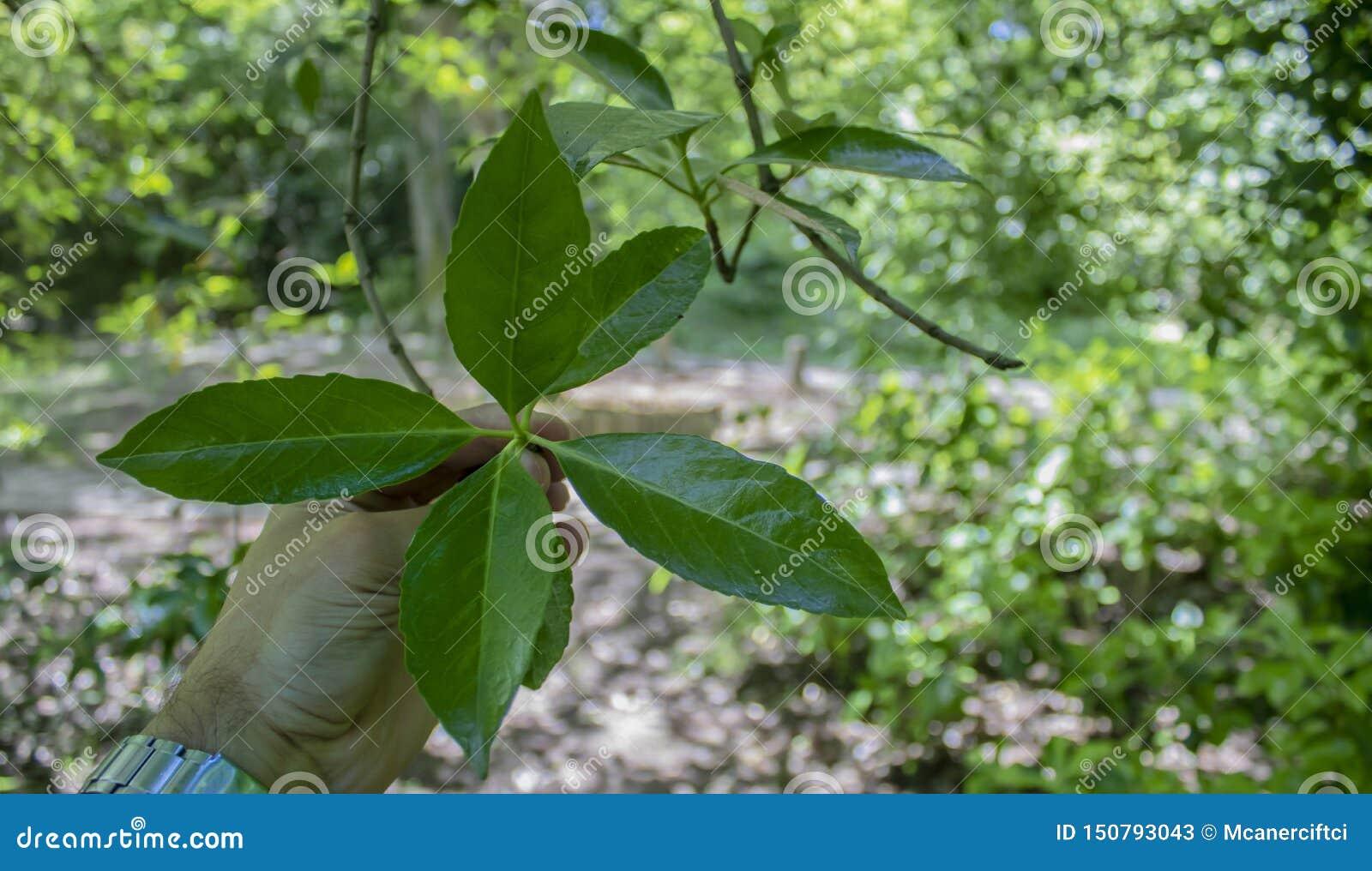 葡萄牙月桂树特写镜头叶子