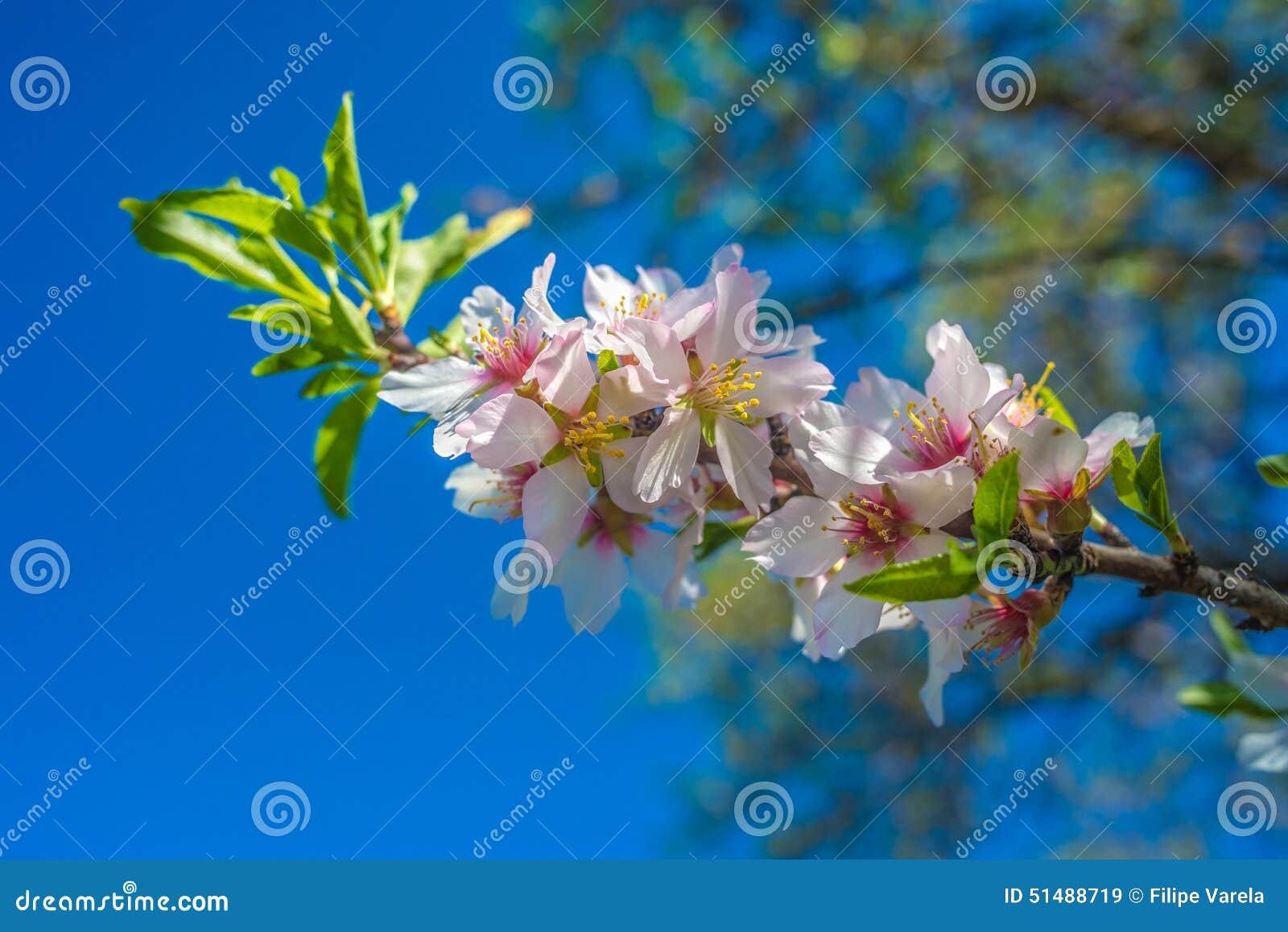 葡萄牙,阿尔加威(欧洲) -杏仁花开花在春天