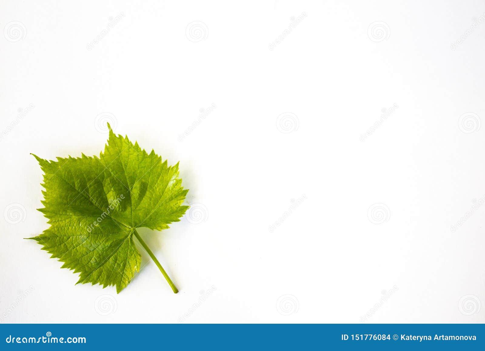 葡萄绿色叶子,隔绝在白色背景