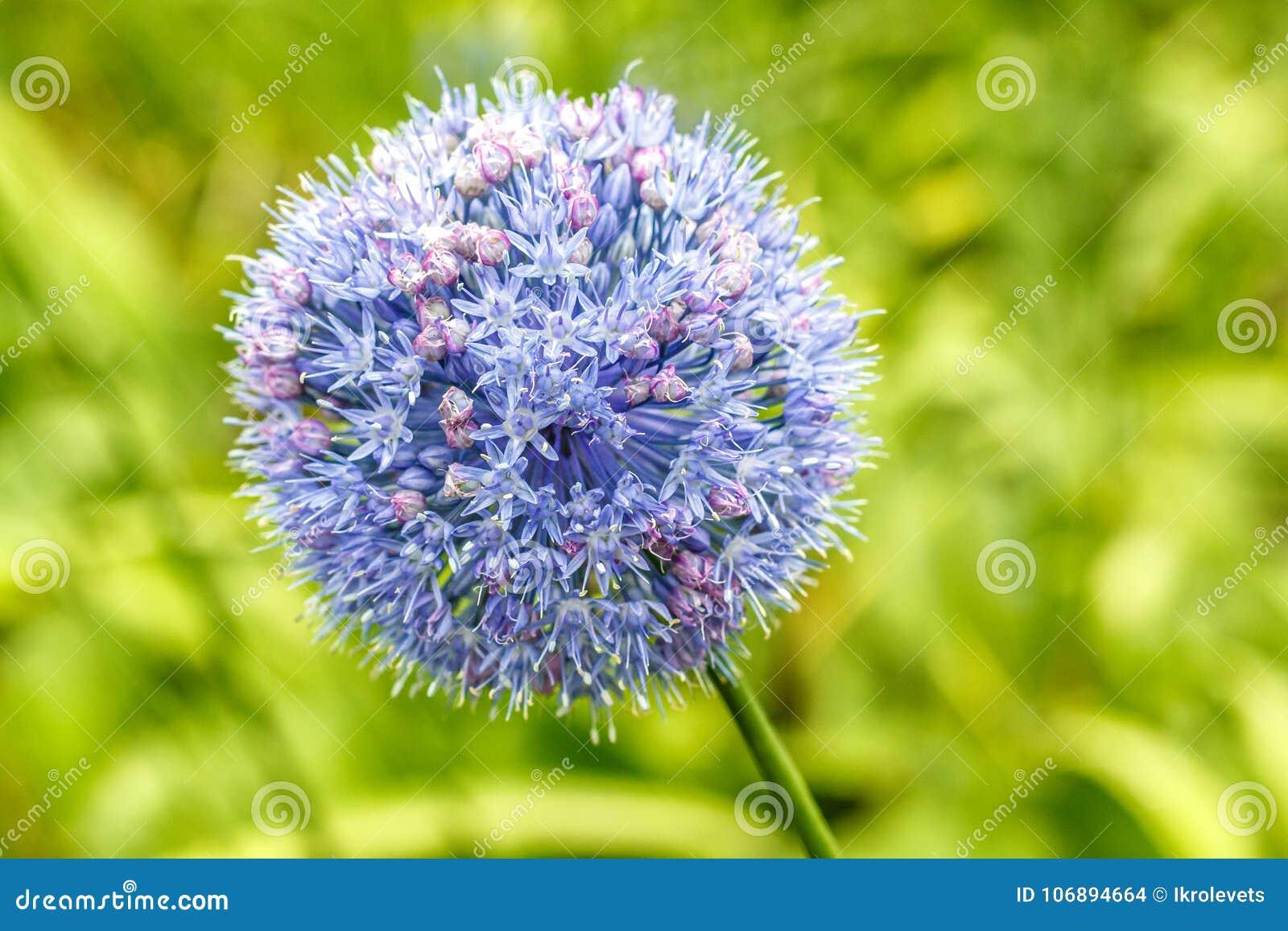 葱属caeruleum