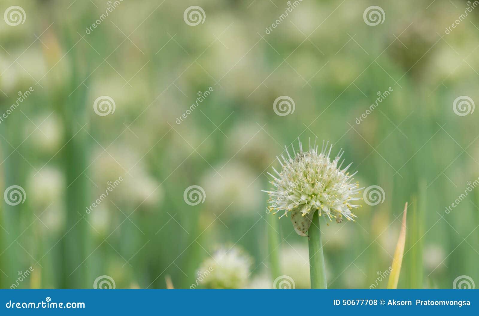 Download 葱花 库存照片. 图片 包括有 查出, 可口, 农场, 健康, 原始, 可食用, 开花, 绿色, 成份, 食物 - 50677708