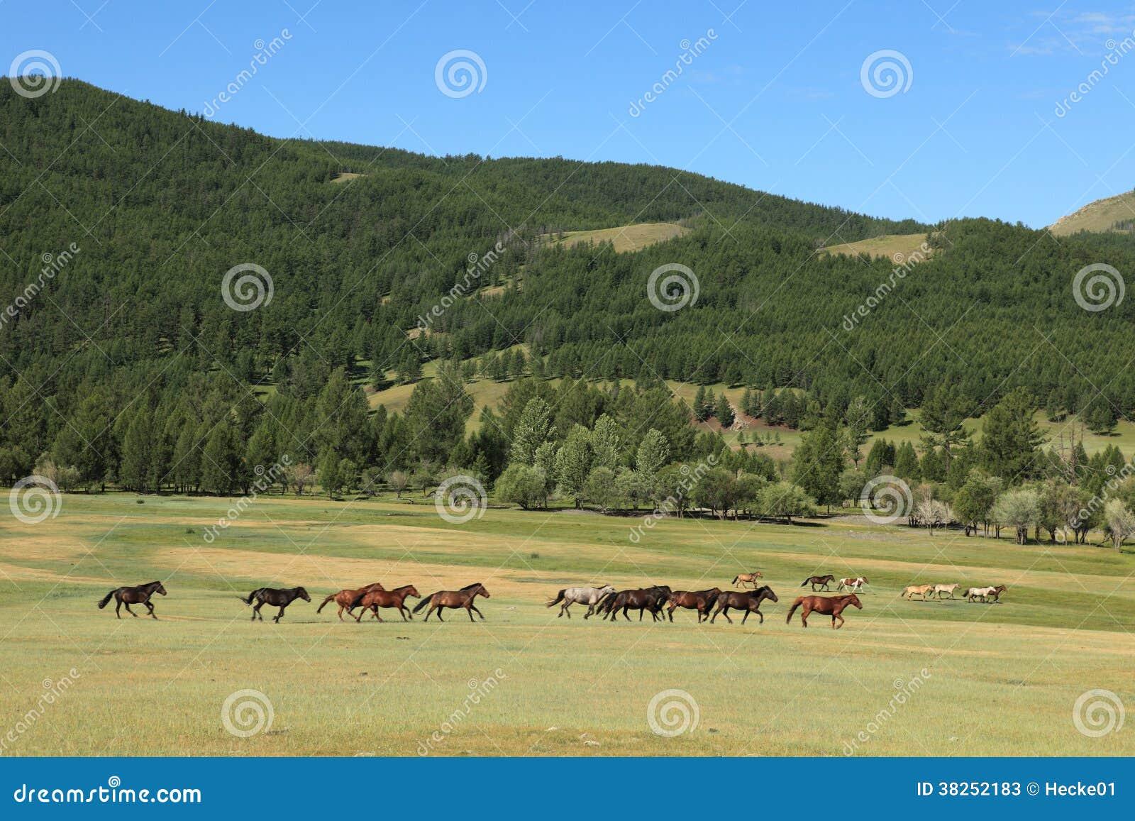 蒙古的野马