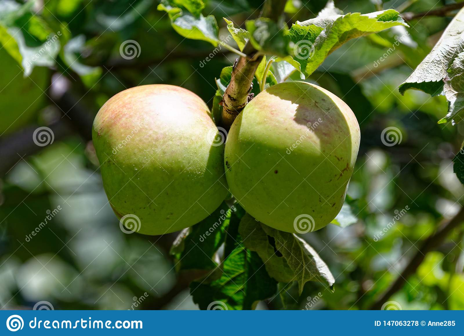 蒙蒂的成熟惊奇的苹果在阳光下,自然地