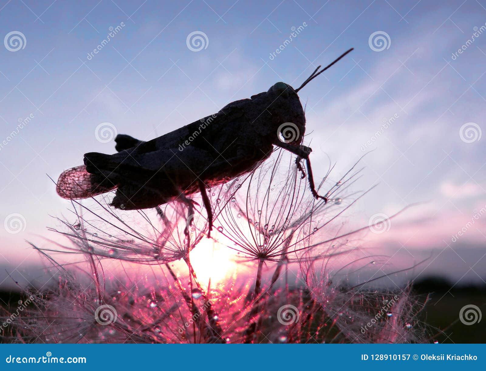 蒲公英种子和蚂蚱 蚂蚱和日出