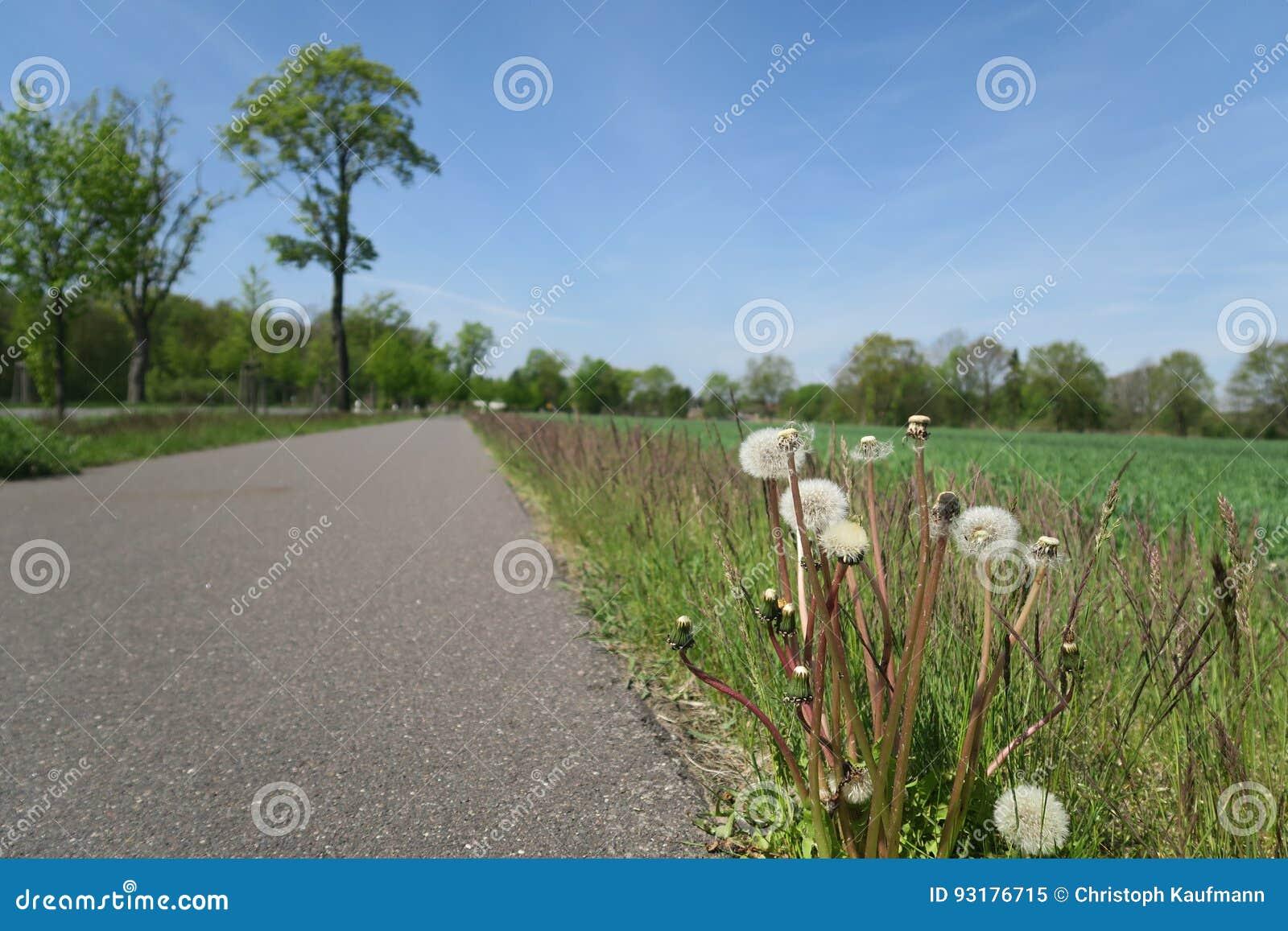 蒲公英计时在一条农村路的边
