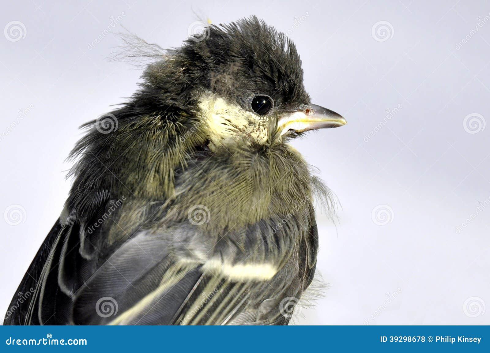 蓝冠山雀雏鸟