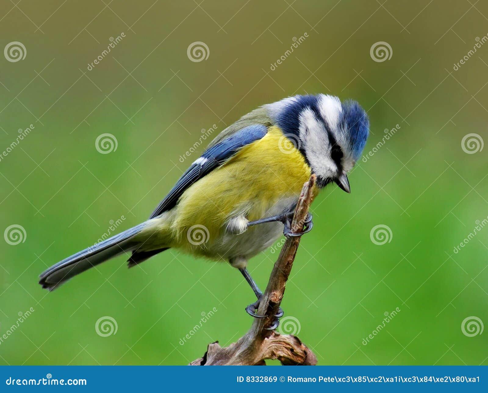 蓝冠山雀医疗报销阴虱可以的吗图片