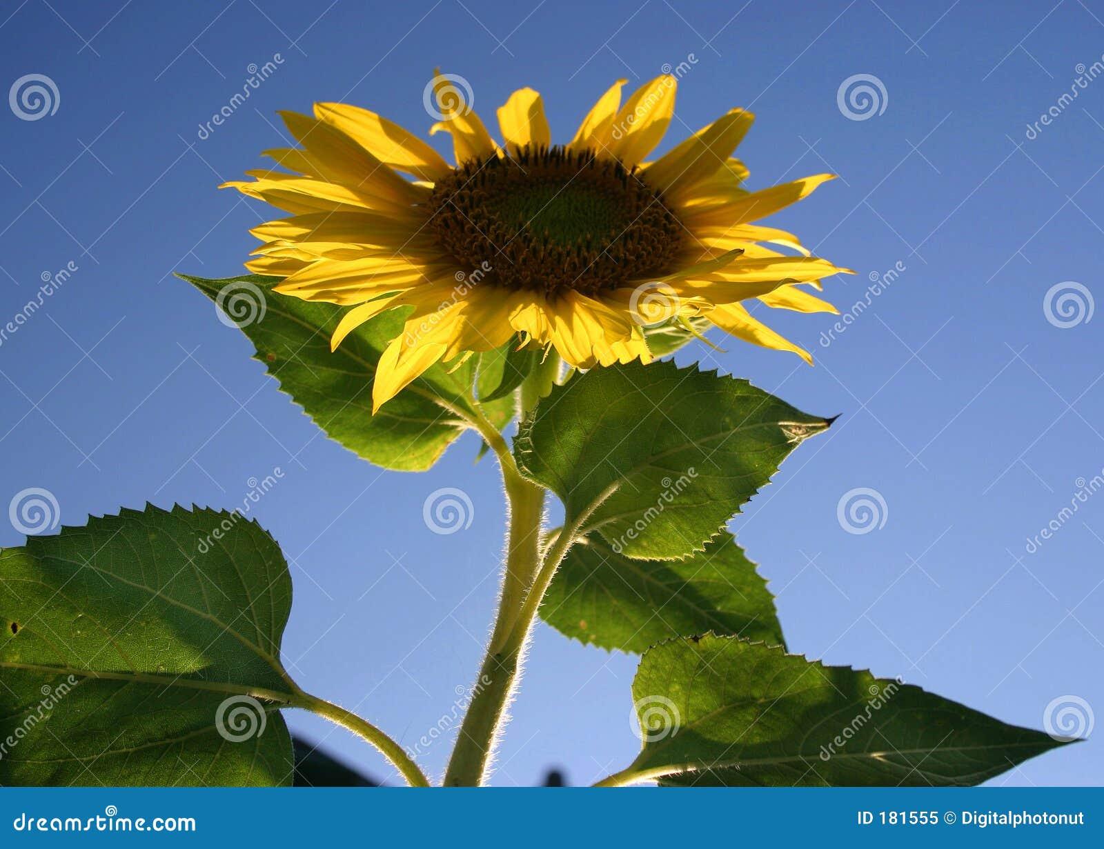 蓝天向日葵