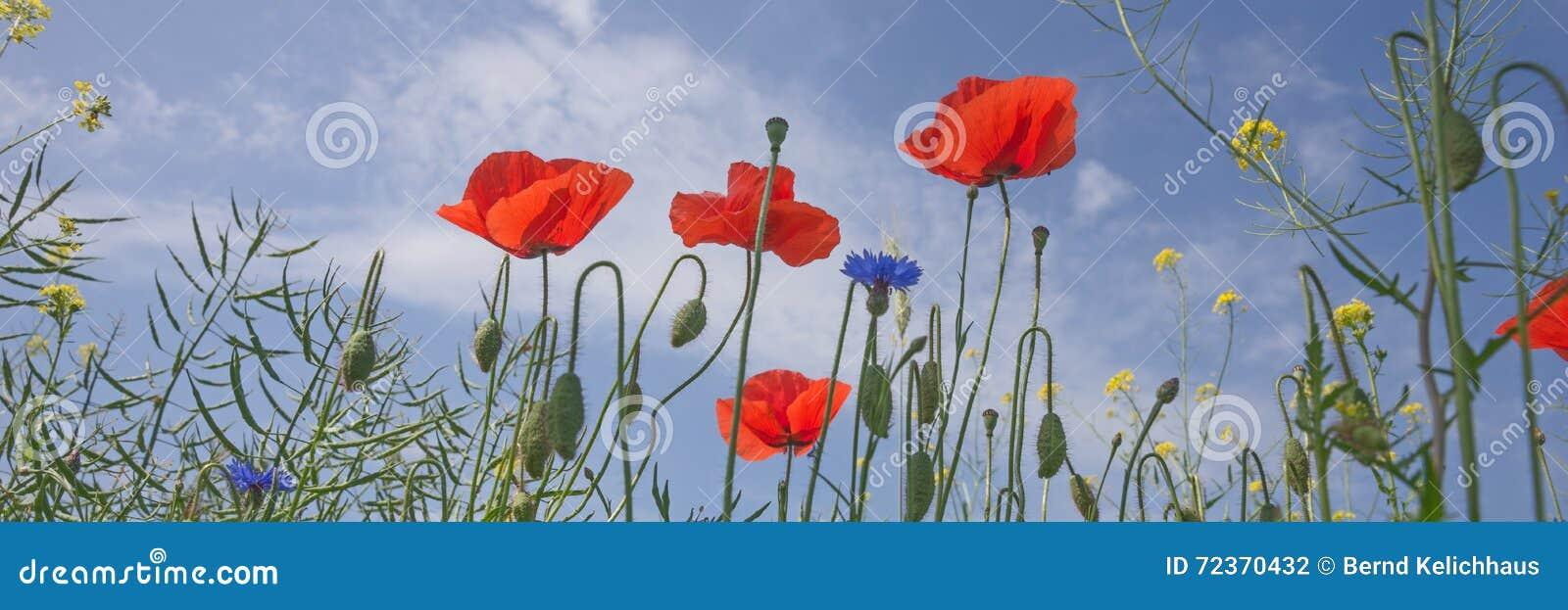 蓝天的鸦片花