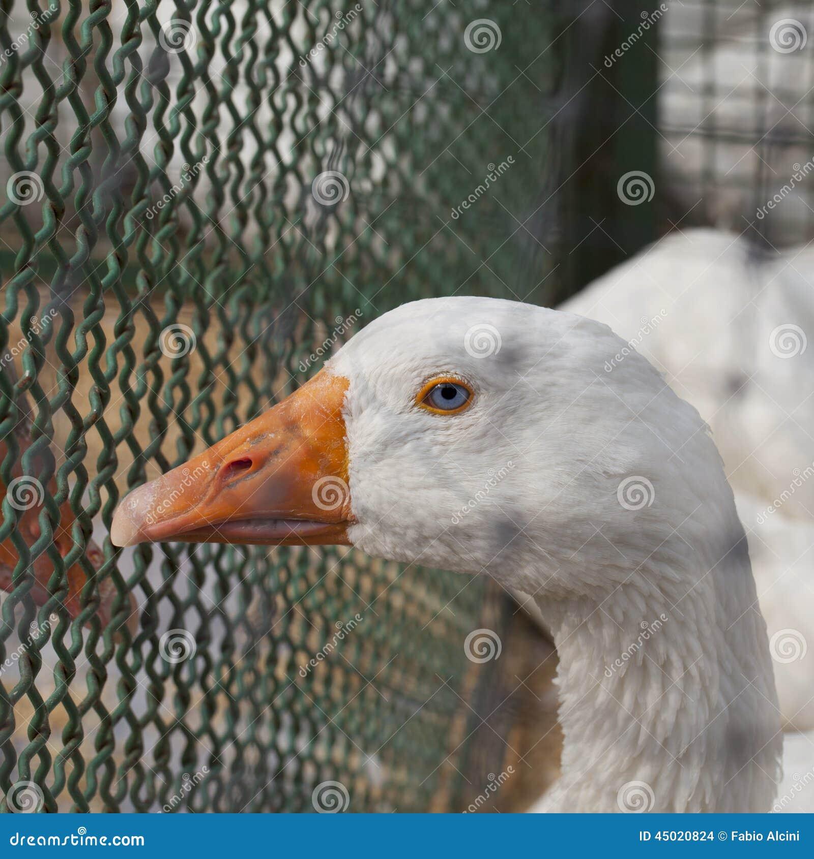 蓝眼睛的鸭子