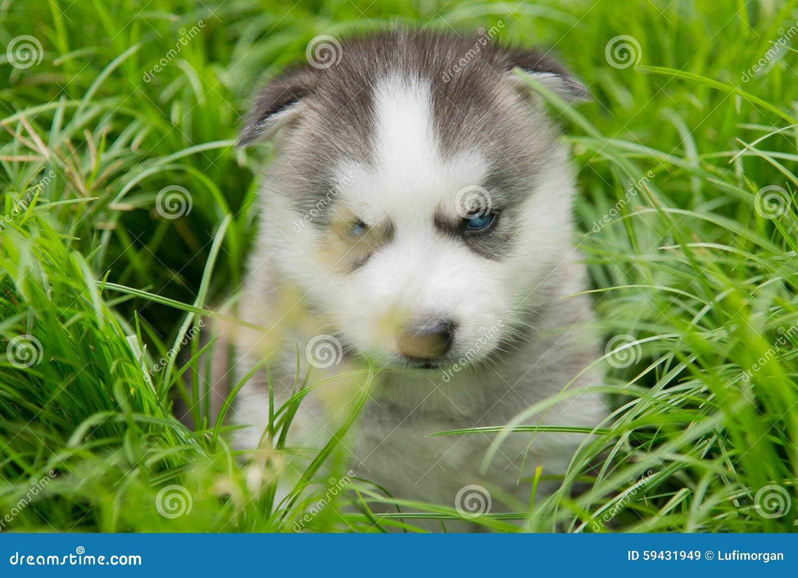 蓝眼睛西伯利亚爱斯基摩人看在绿草的小狗lyingand.图片