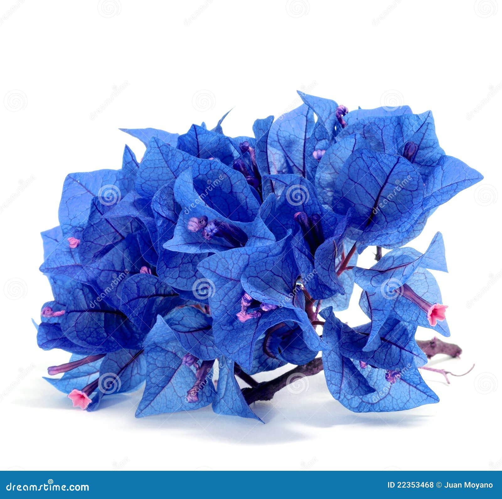 蓝色九重葛