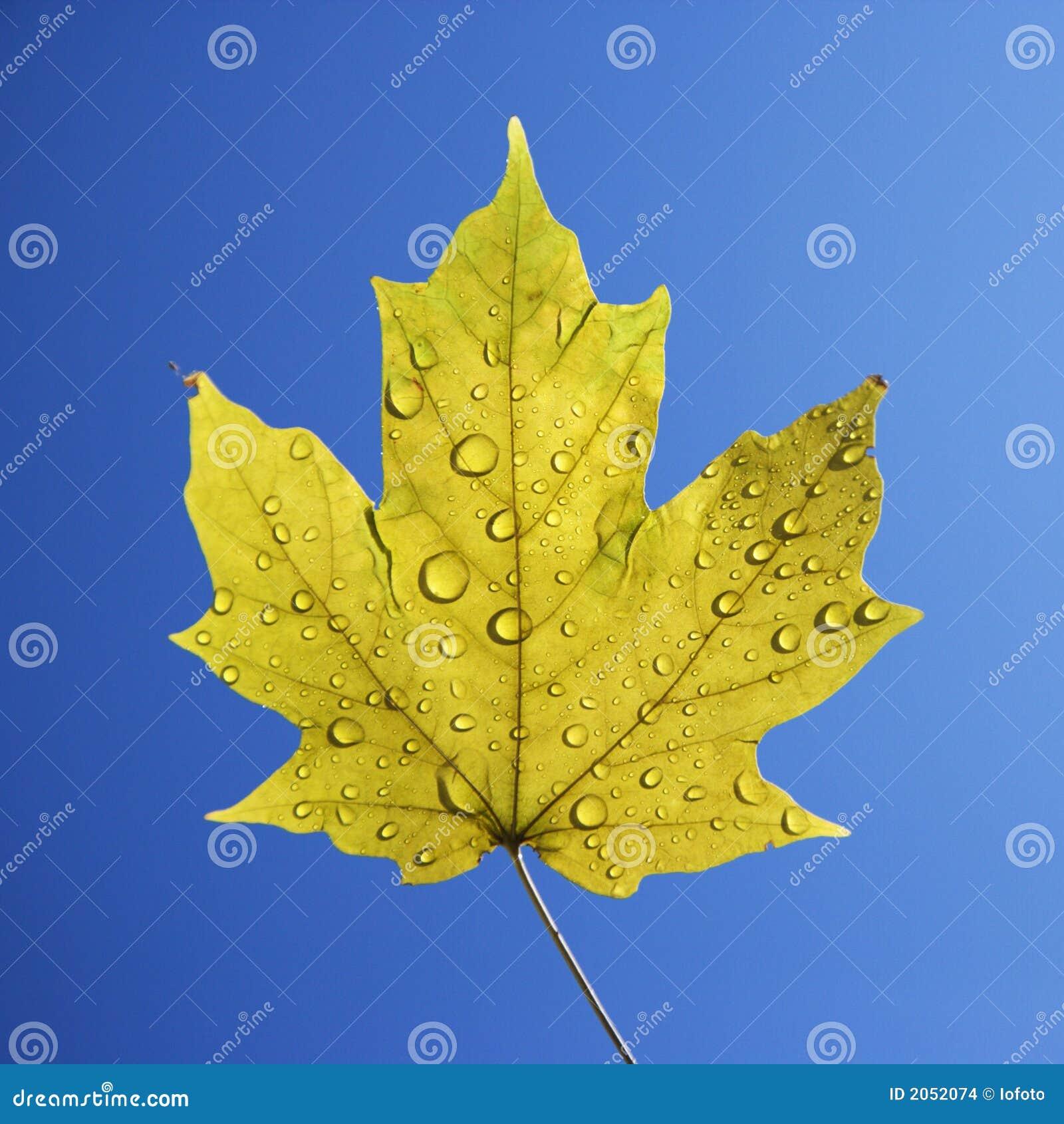 蓝色叶子槭树