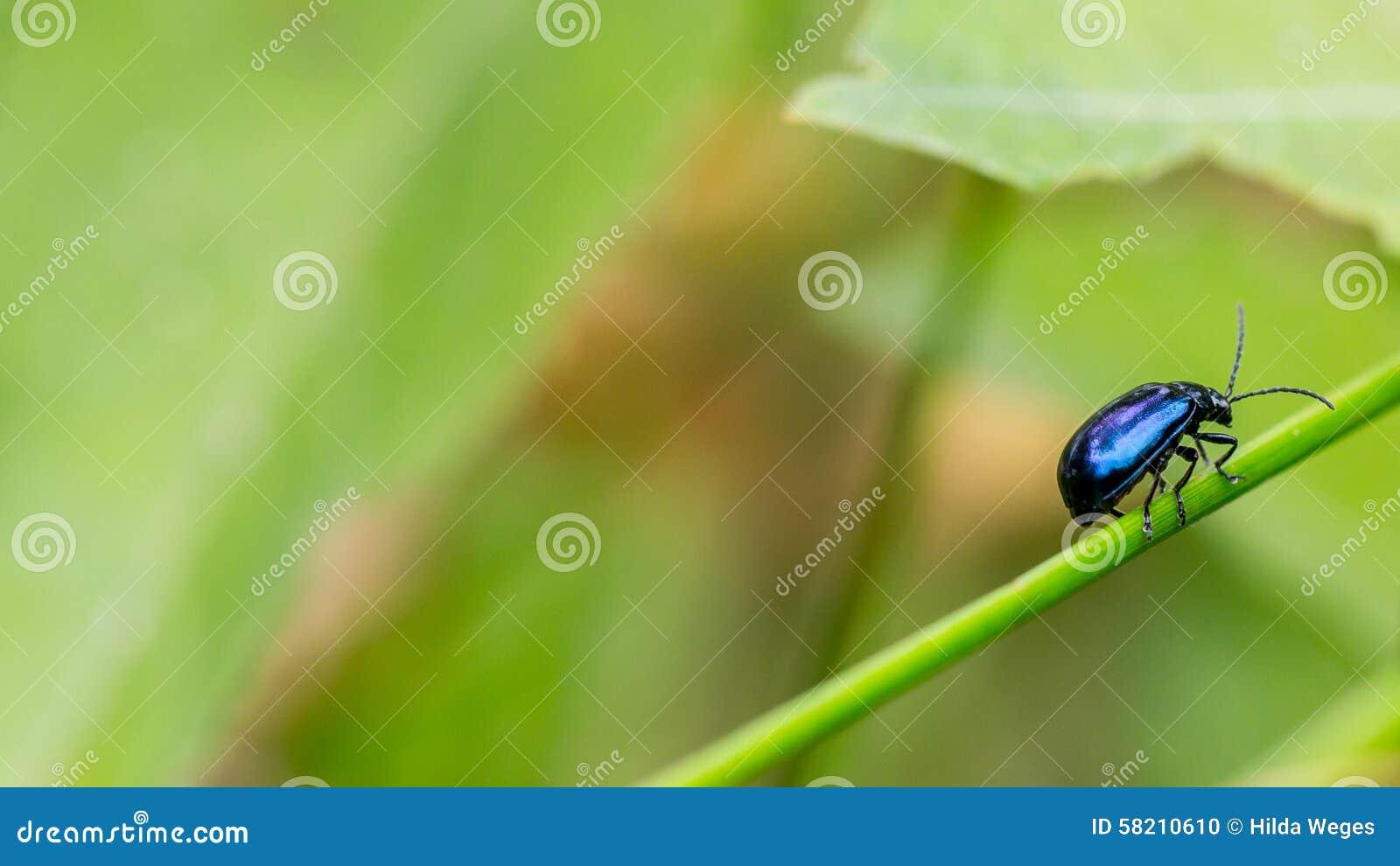 蓝色叶子甲虫