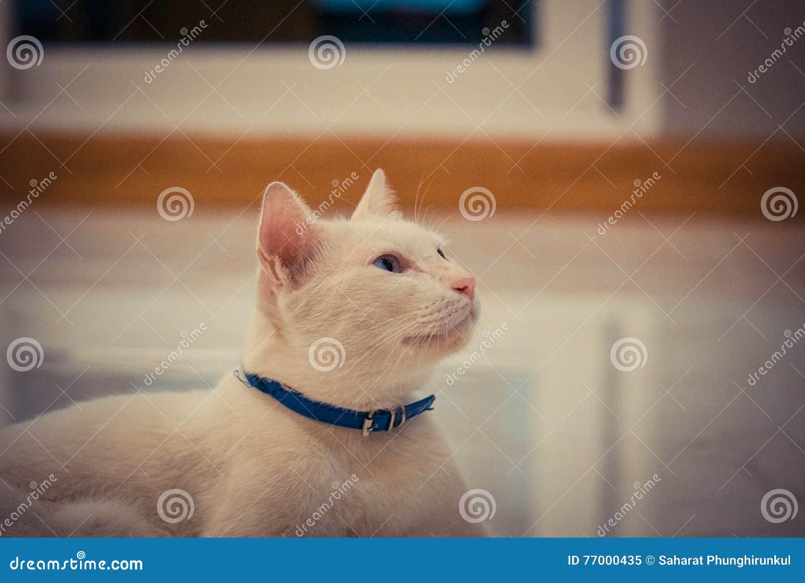 蓝色和黄色被注视的猫