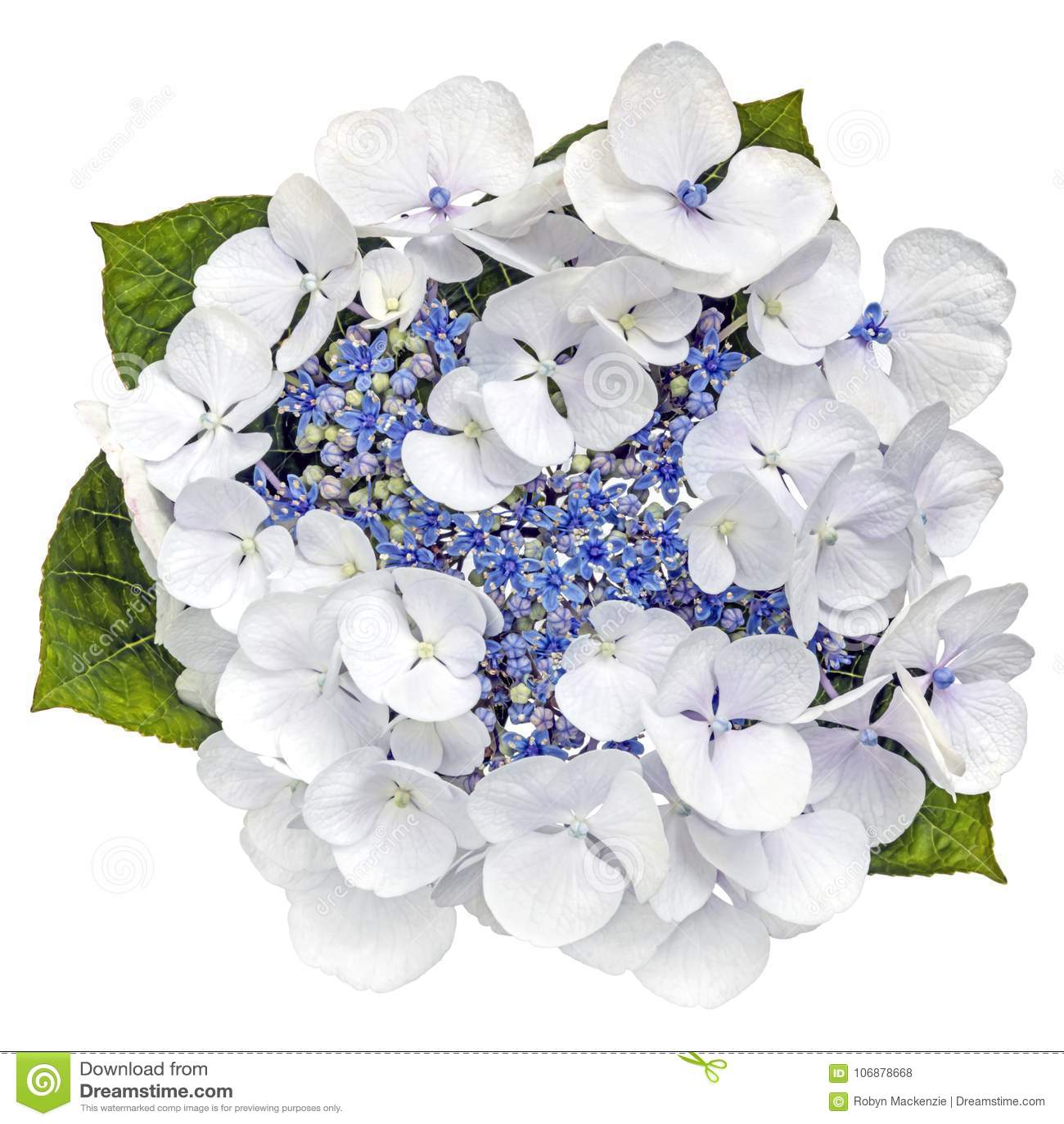 蓝色在白色隔绝的Lacecap八仙花属花顶视图