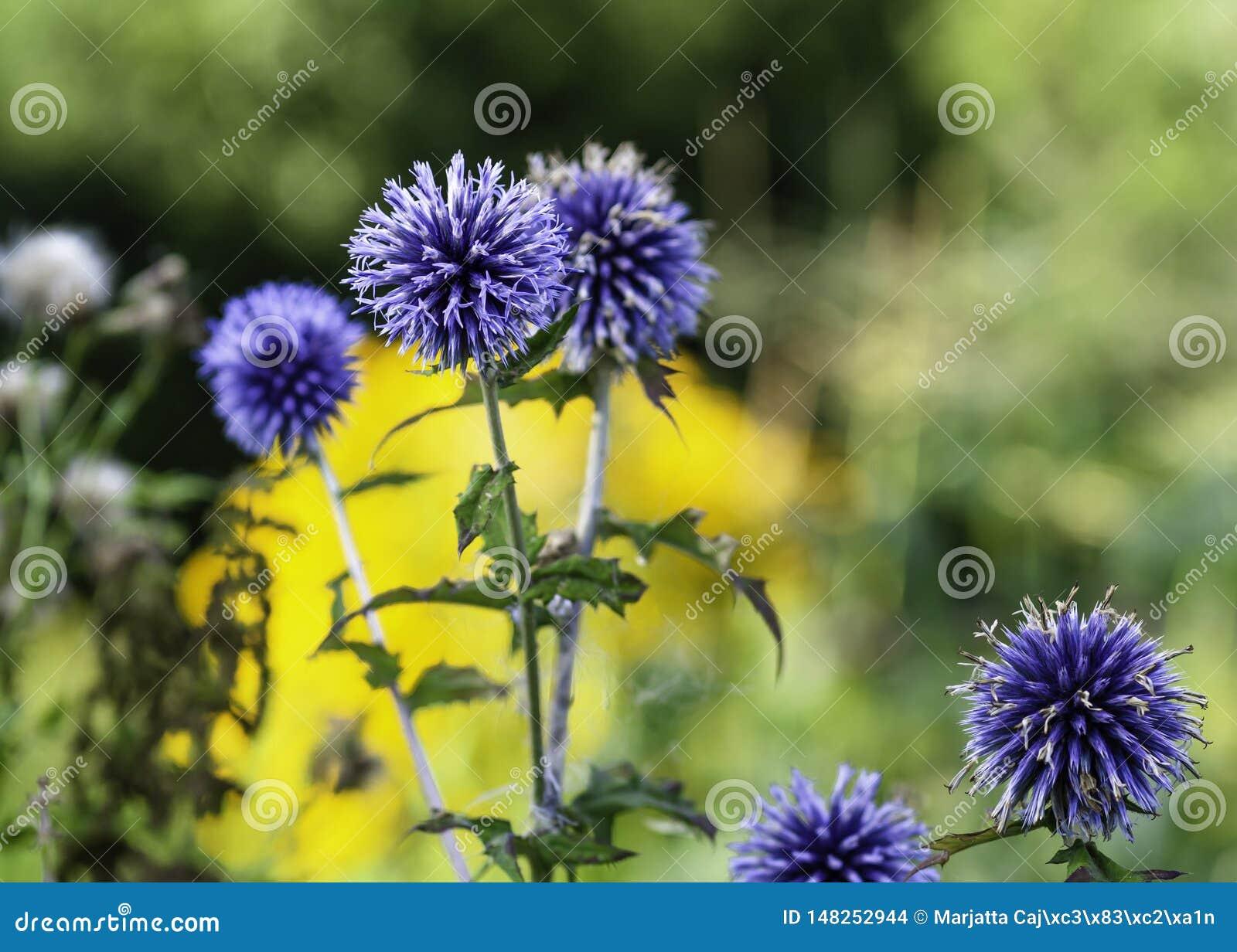 蓝色地球蓟,刺头属bannaticus