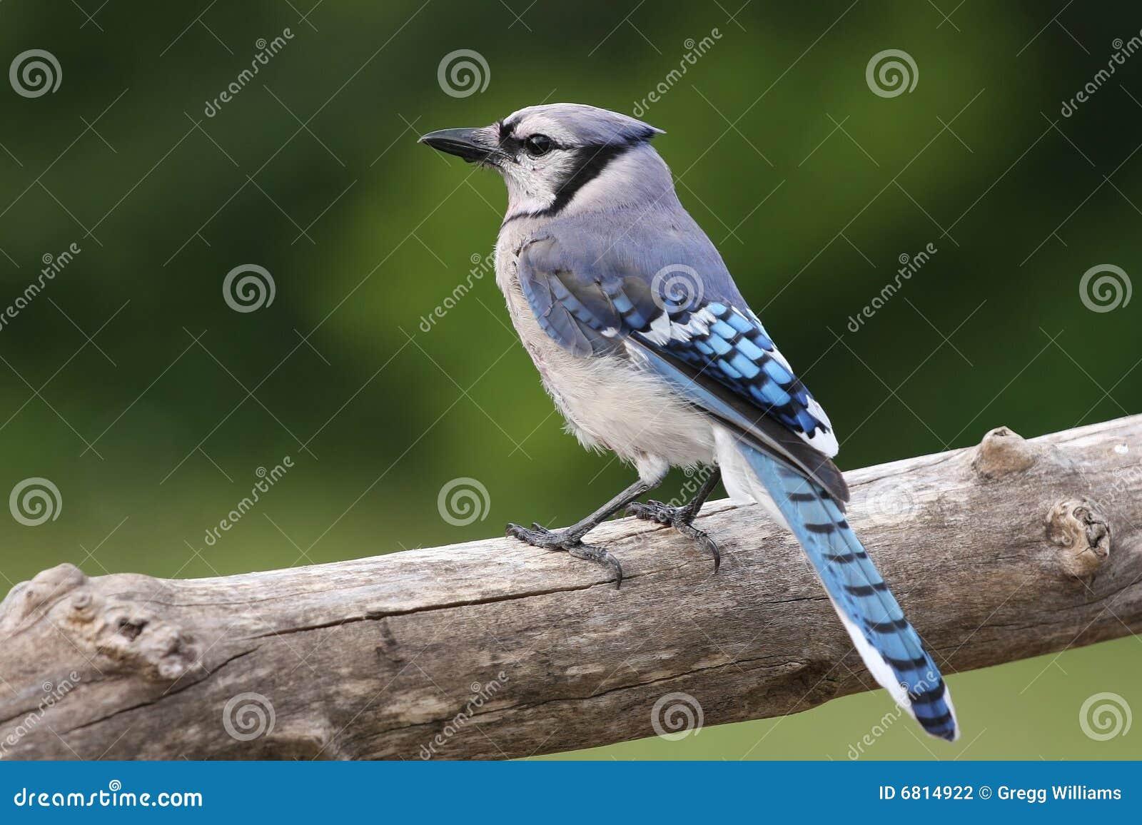 蓝色尖嘴鸟