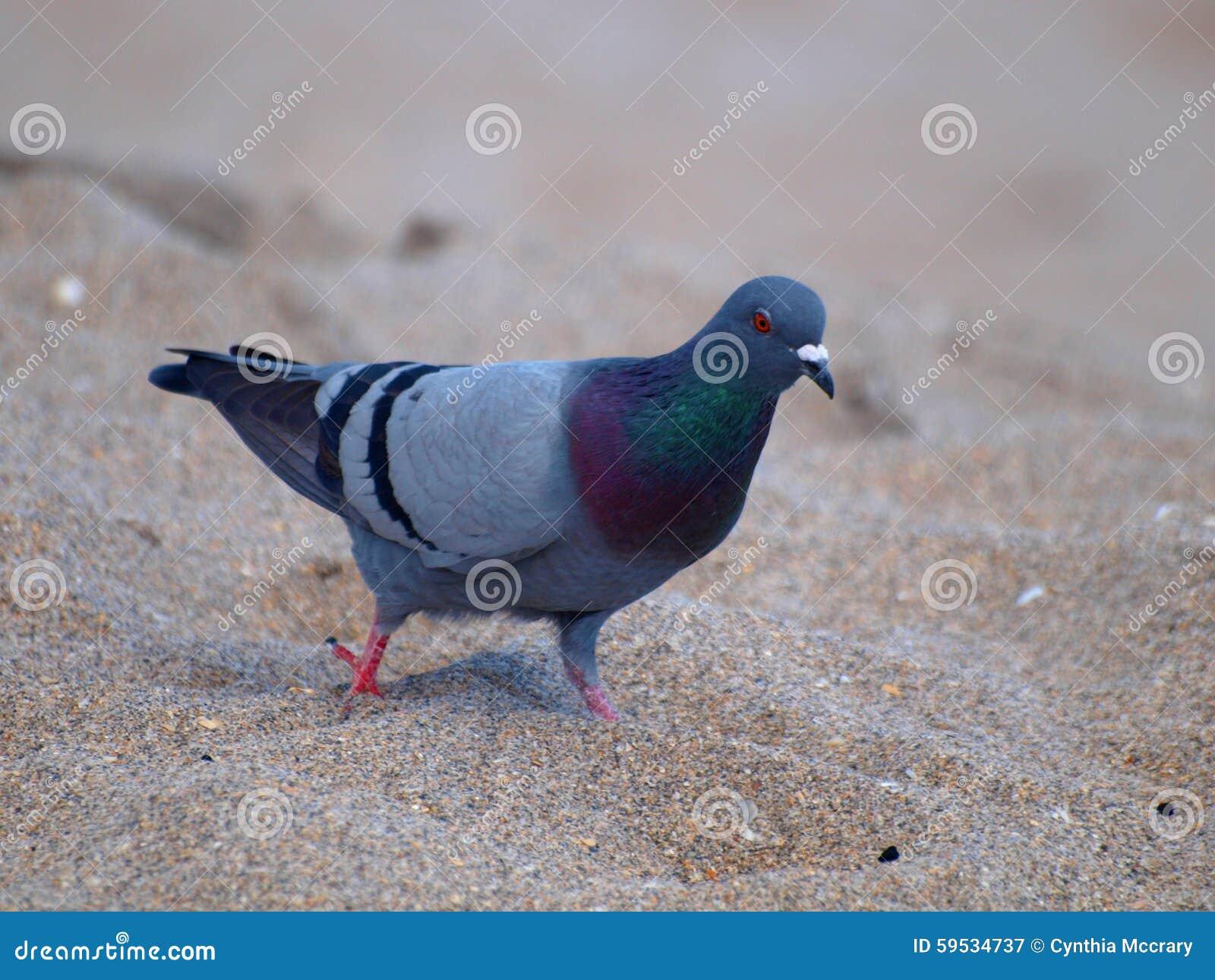 蓝色岩石鸽子