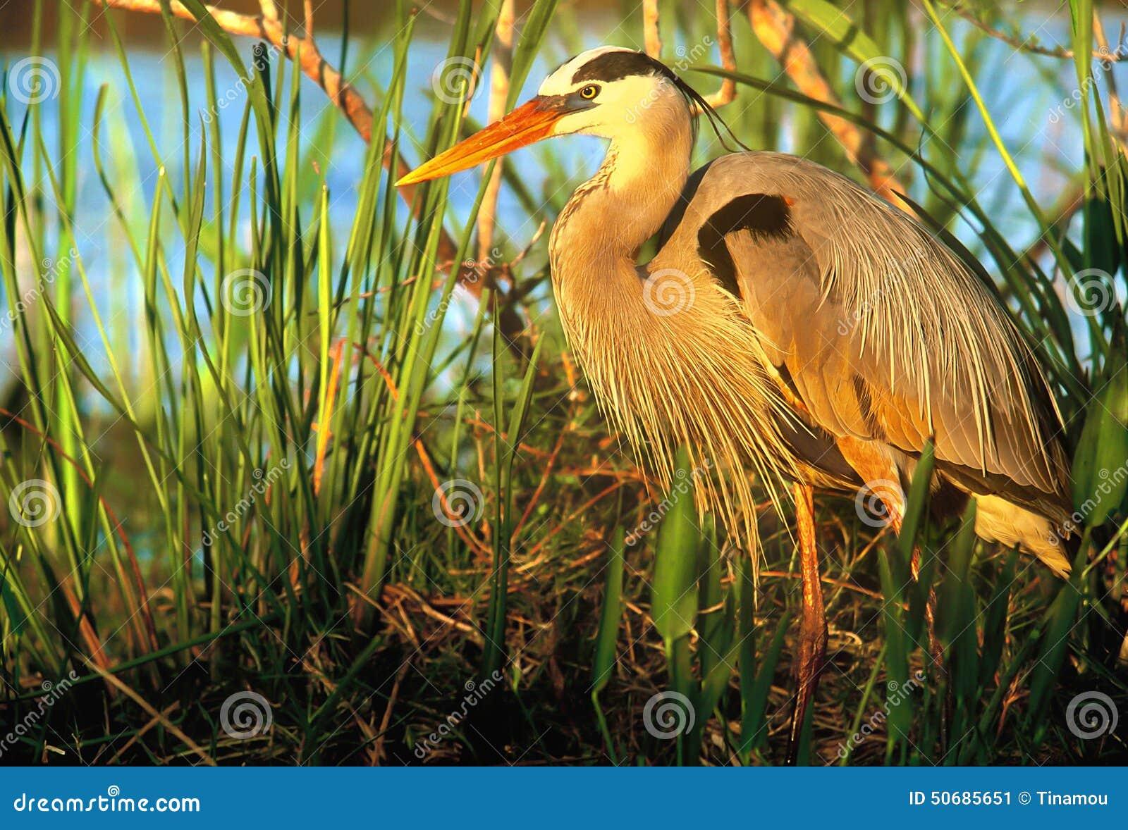 Download 蓝色巨大苍鹭日落 库存图片. 图片 包括有 沼泽, 海岸, 东部, 池塘, 本质, 点燃, 温暖, 敌意 - 50685651
