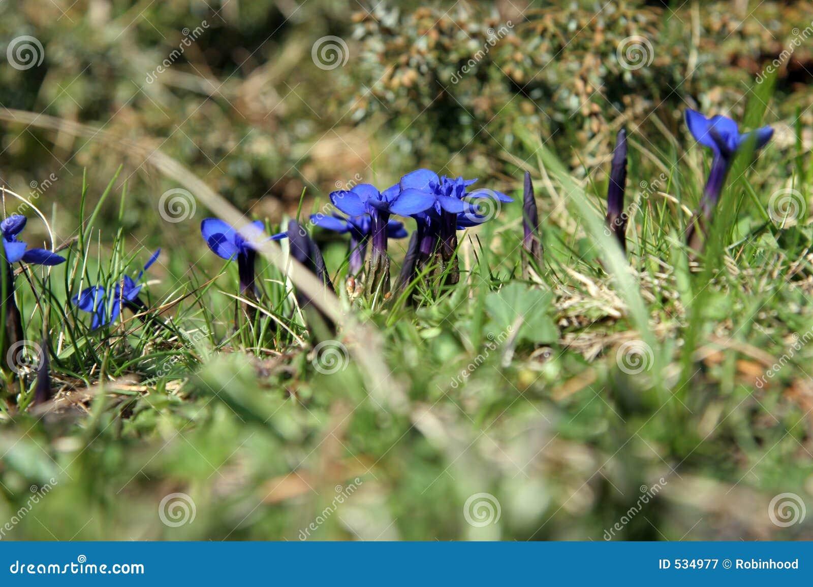 Download 蓝色开花植物 库存图片. 图片 包括有 卖花人, 花蜜, 生活, 庭院, 东部, 国家(地区), 春天, browne - 534977