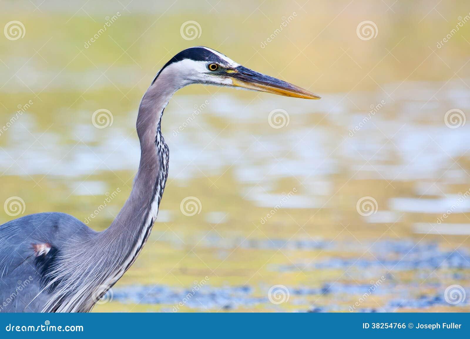 蓝色捕鱼极大的苍鹭