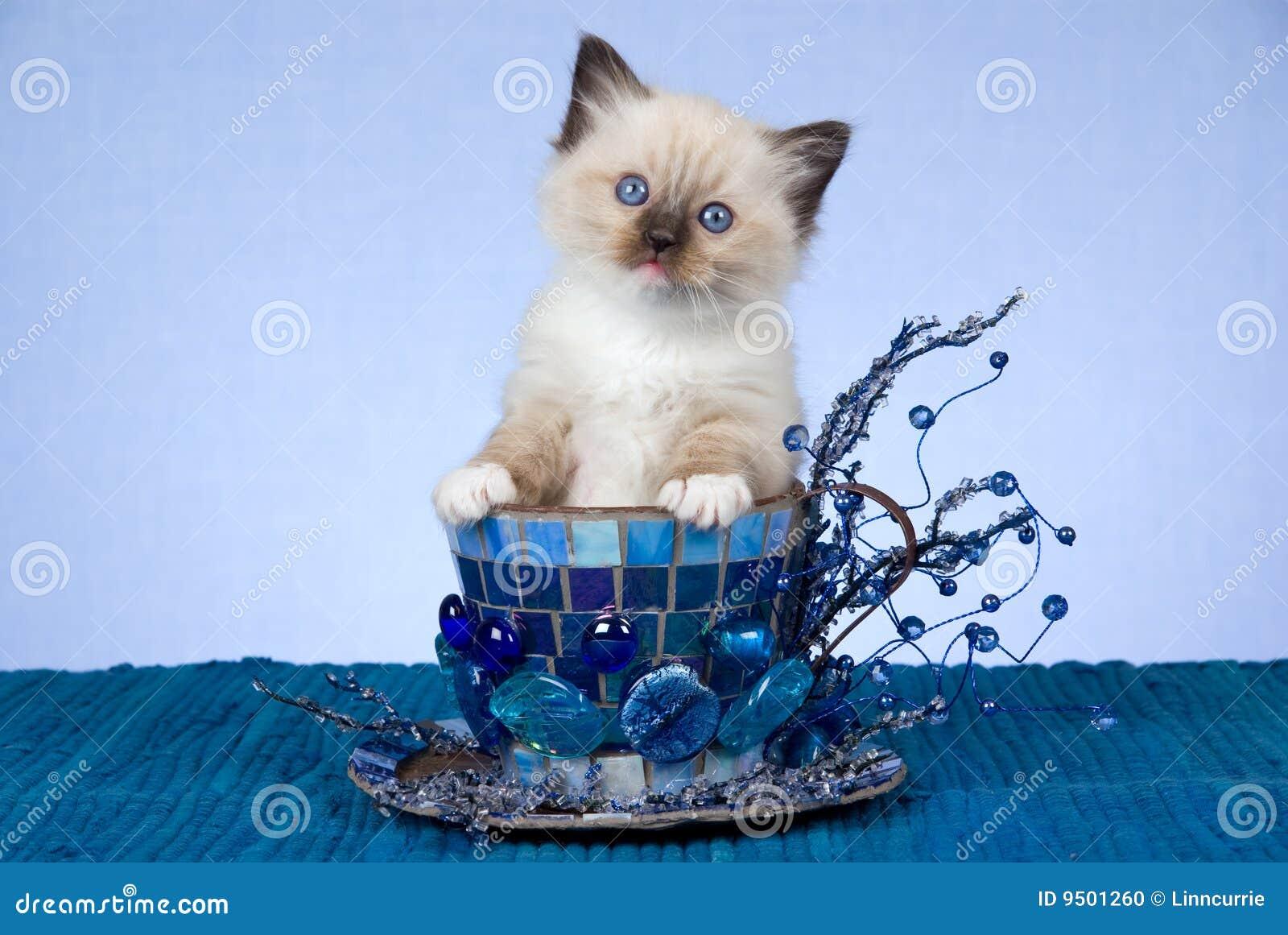 蓝色杯子小猫大俏丽的ragdoll