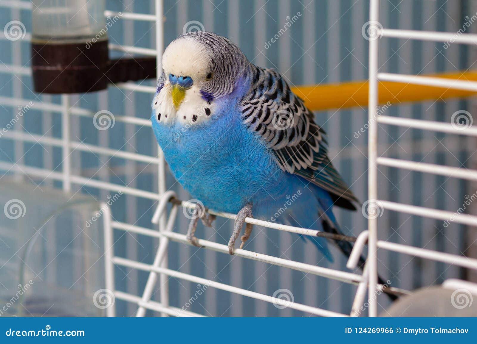 蓝色波浪鹦鹉坐在笼子的出口