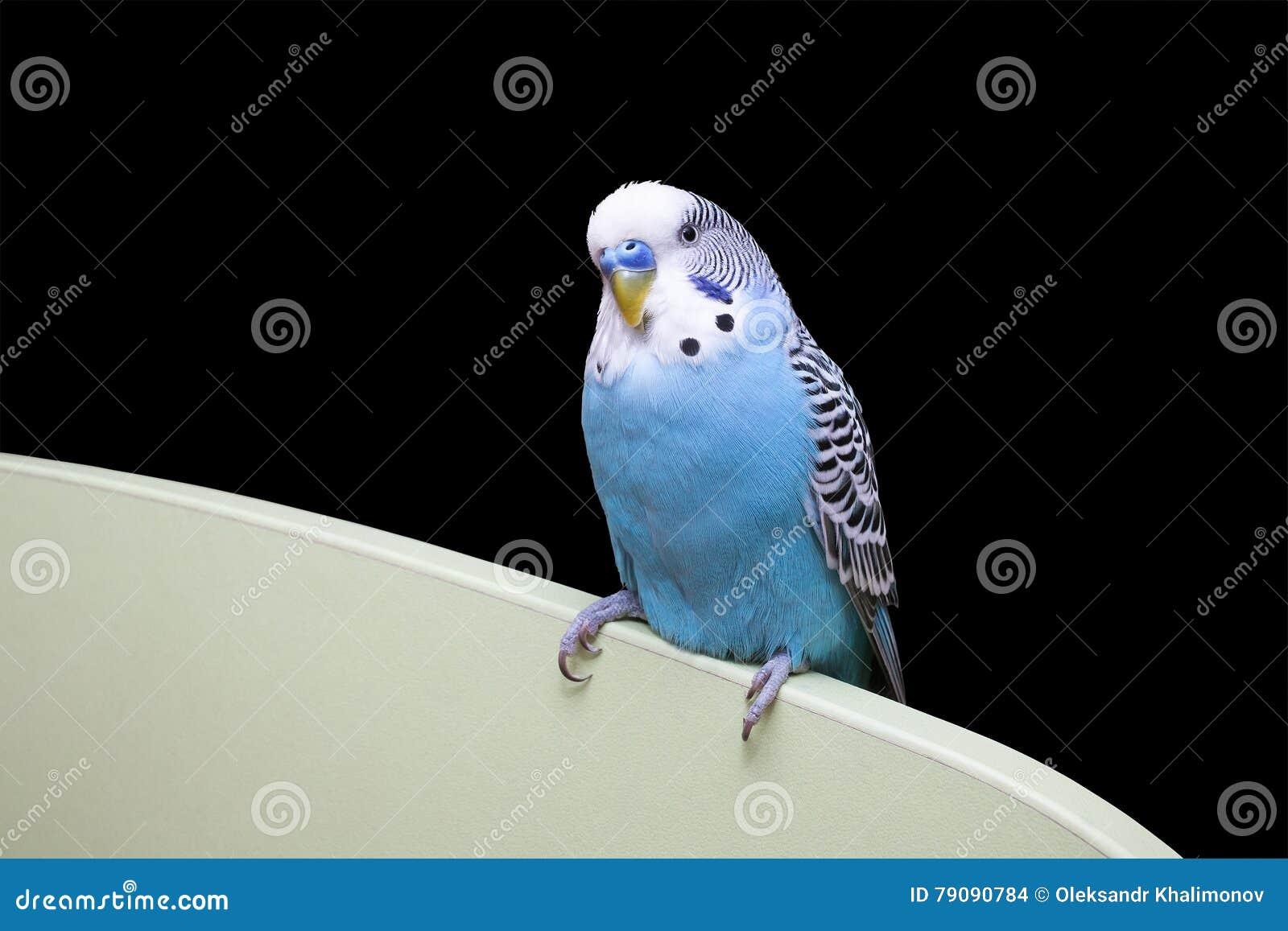 蓝色波浪鹦鹉