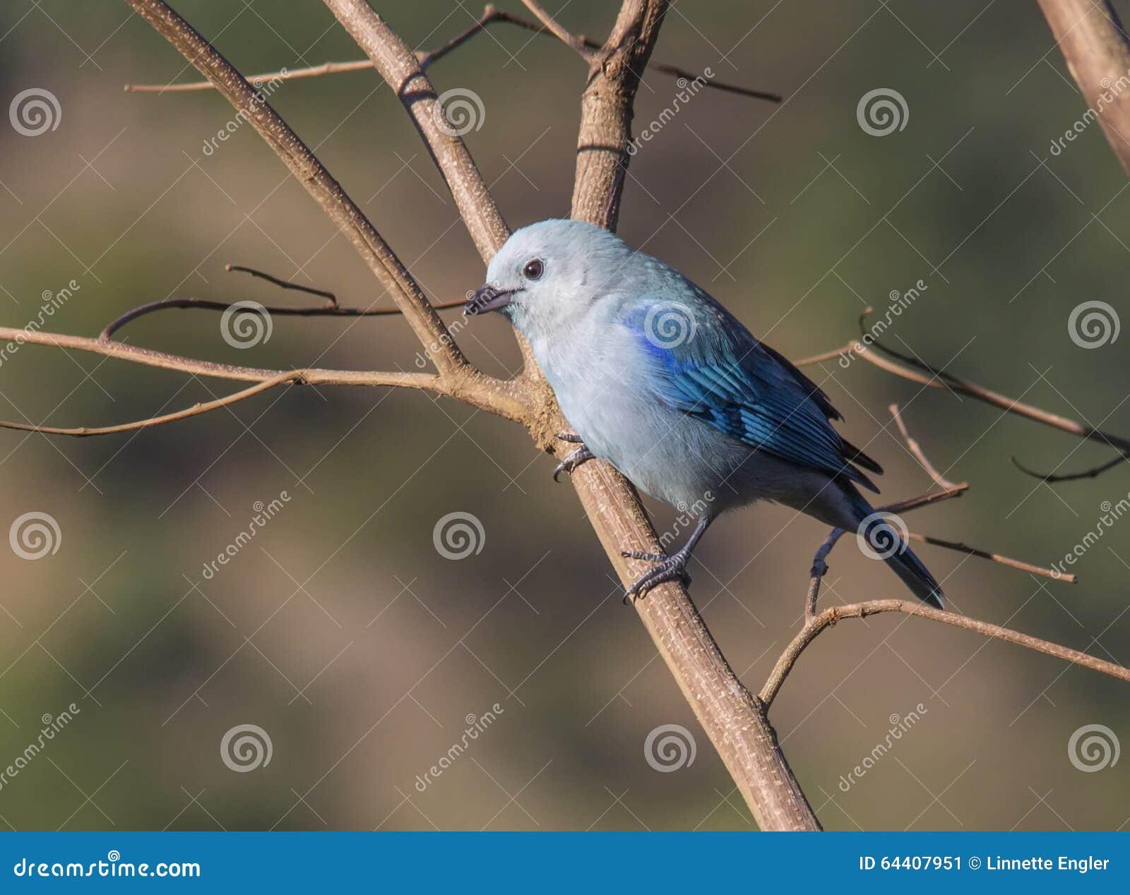 蓝色灰色唐纳雀