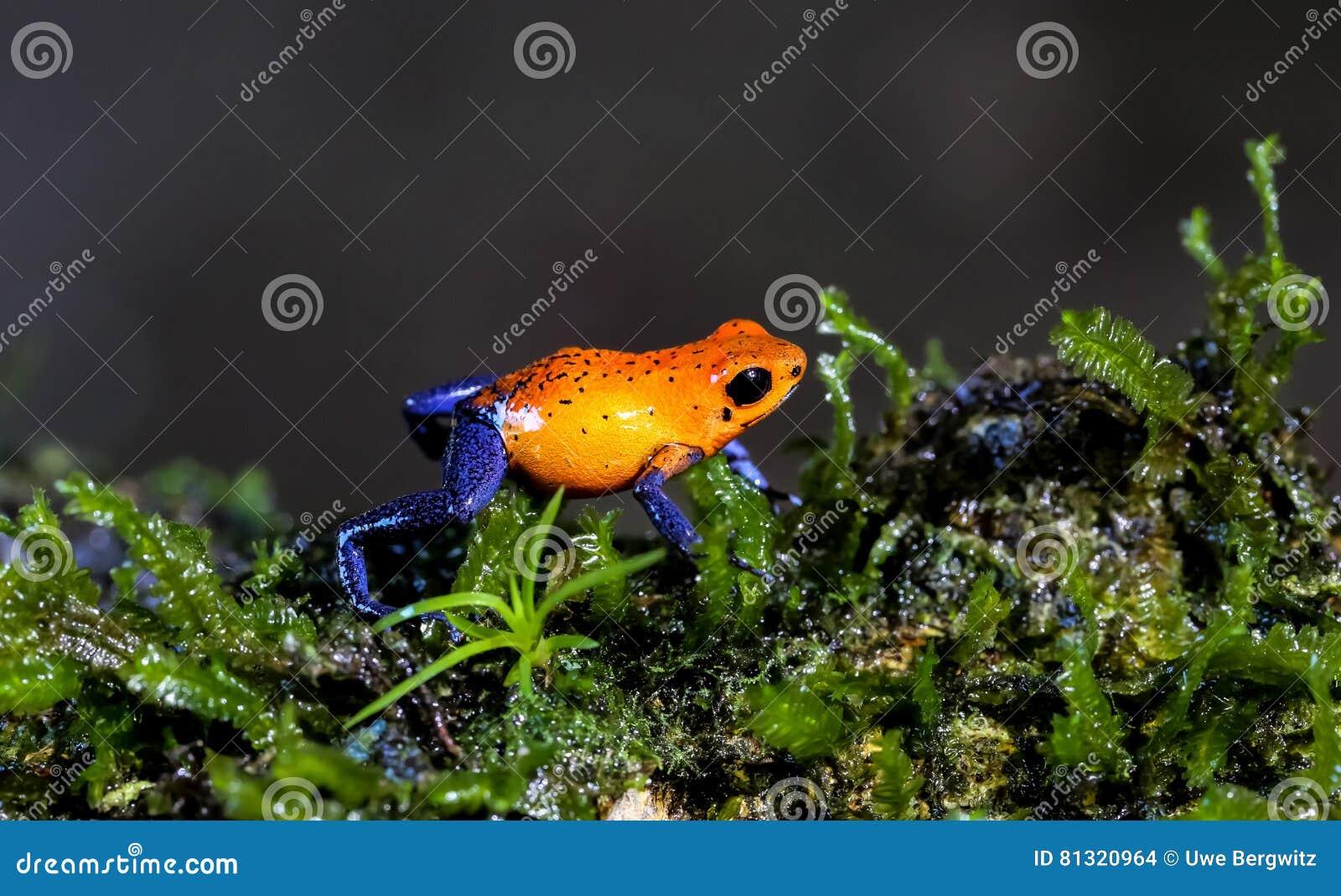 蓝色牛仔裤箭青蛙,肋前缘Ric