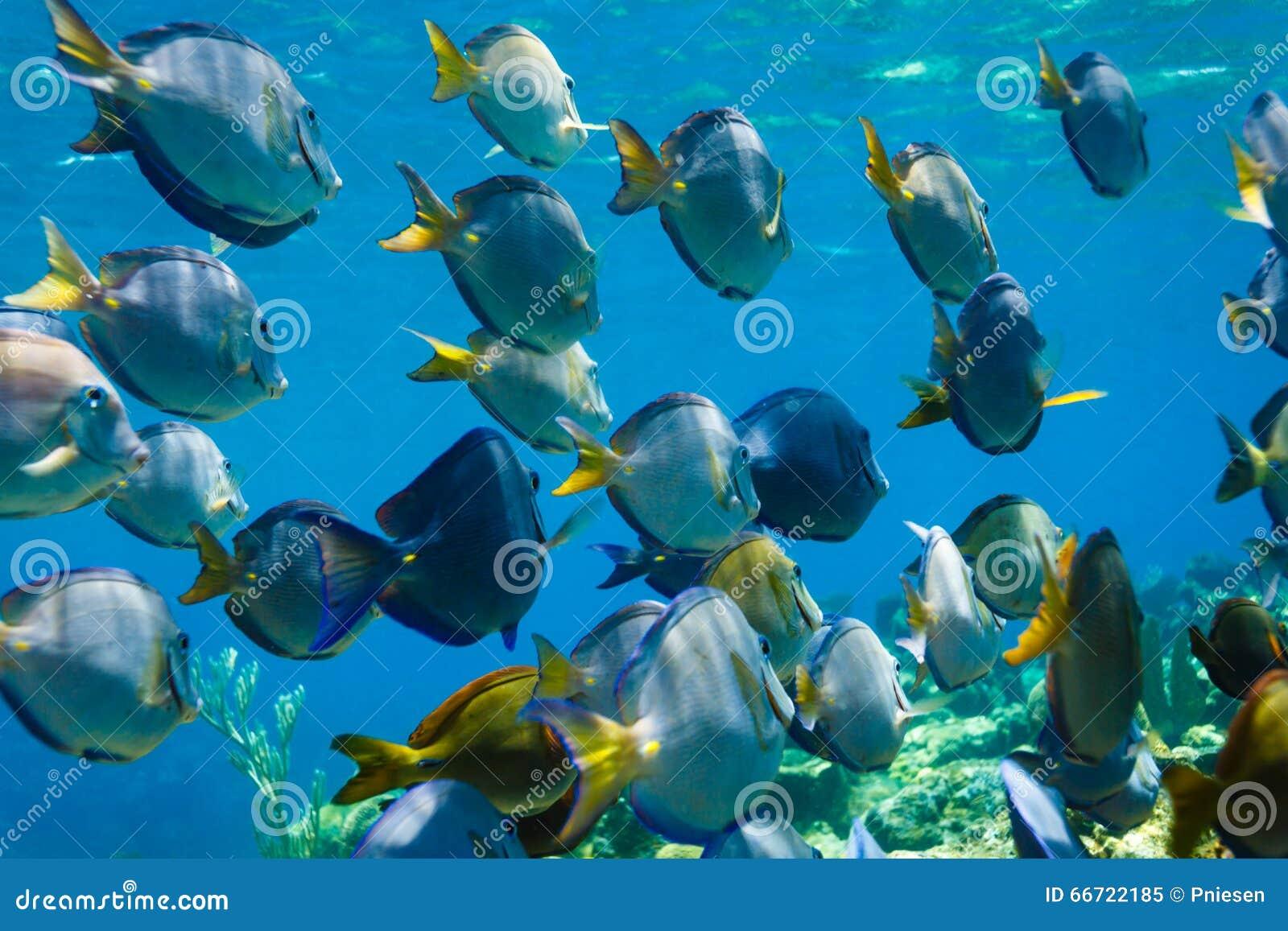 蓝色特性叶形装饰板天蓝色鱼游泳学校在珊瑚礁的