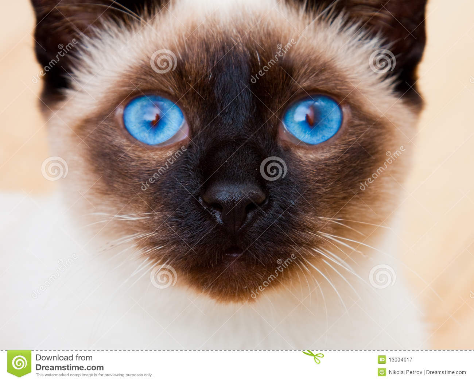 蓝色猫注视表面暹罗生动的颊须