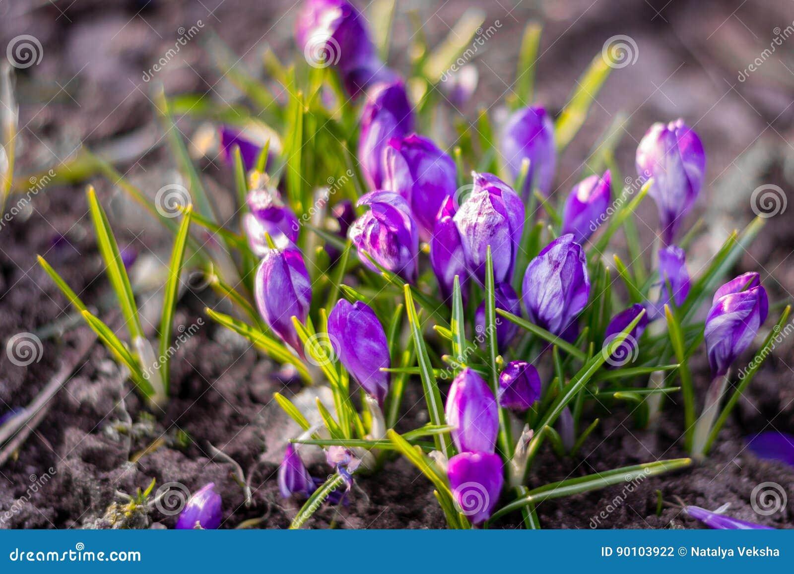 蓝色番红花在与有选择性/软绵绵地焦点的地面上开花