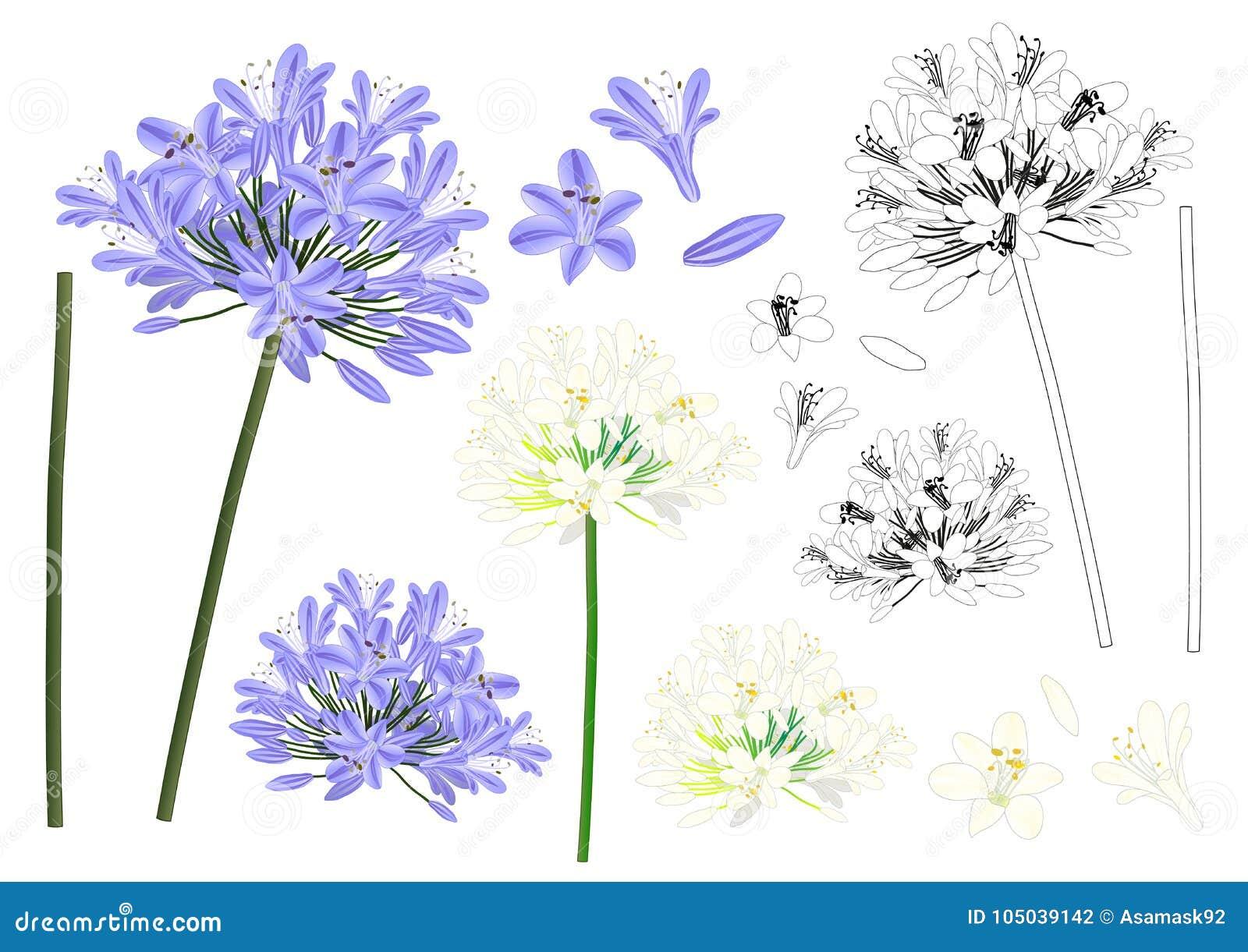 蓝色紫色爱情花概述-爱情花,非洲百合 也corel凹道例证向量 背景查出的白色