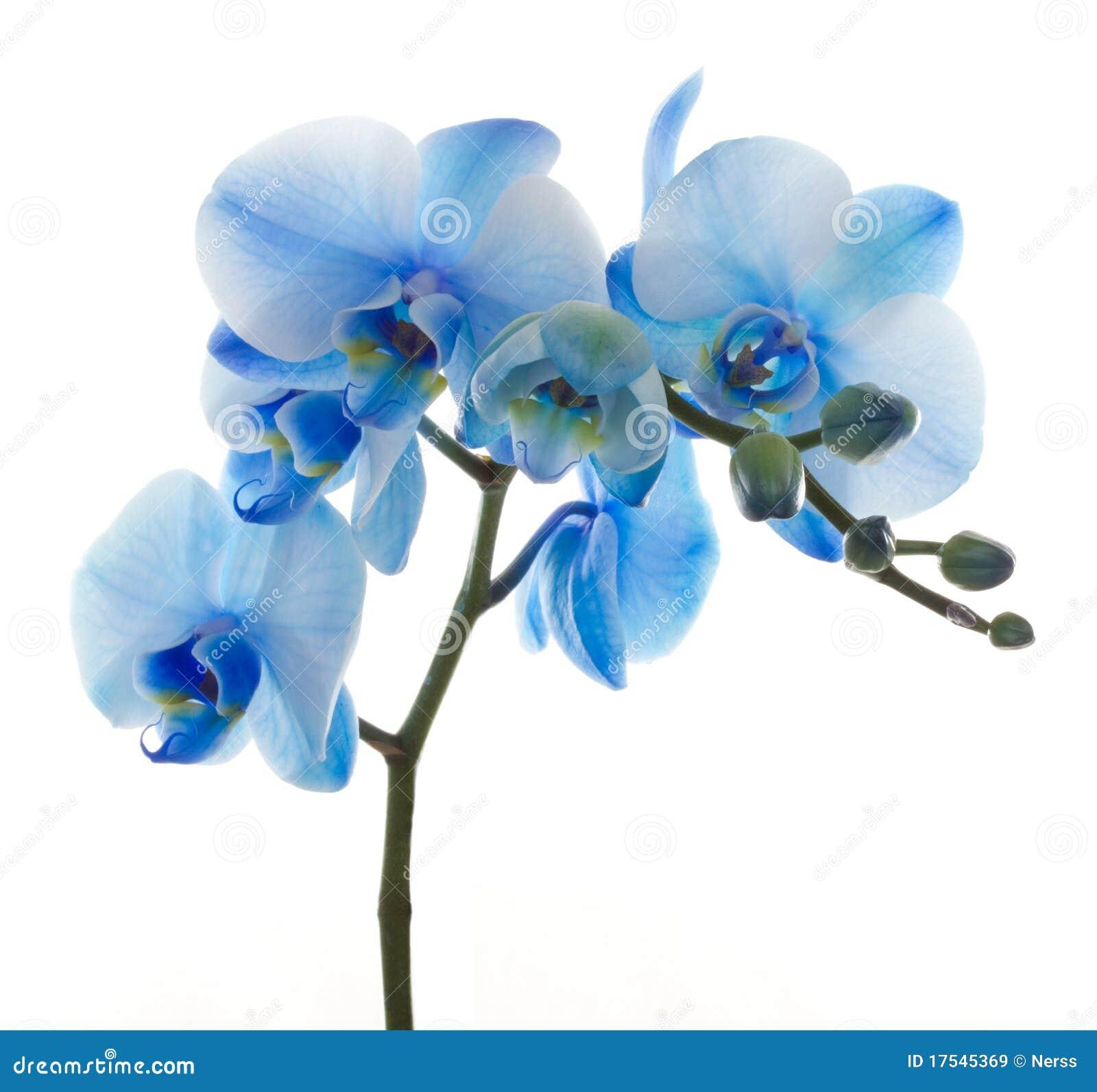 蓝色花开花兰花兰花兰花植物