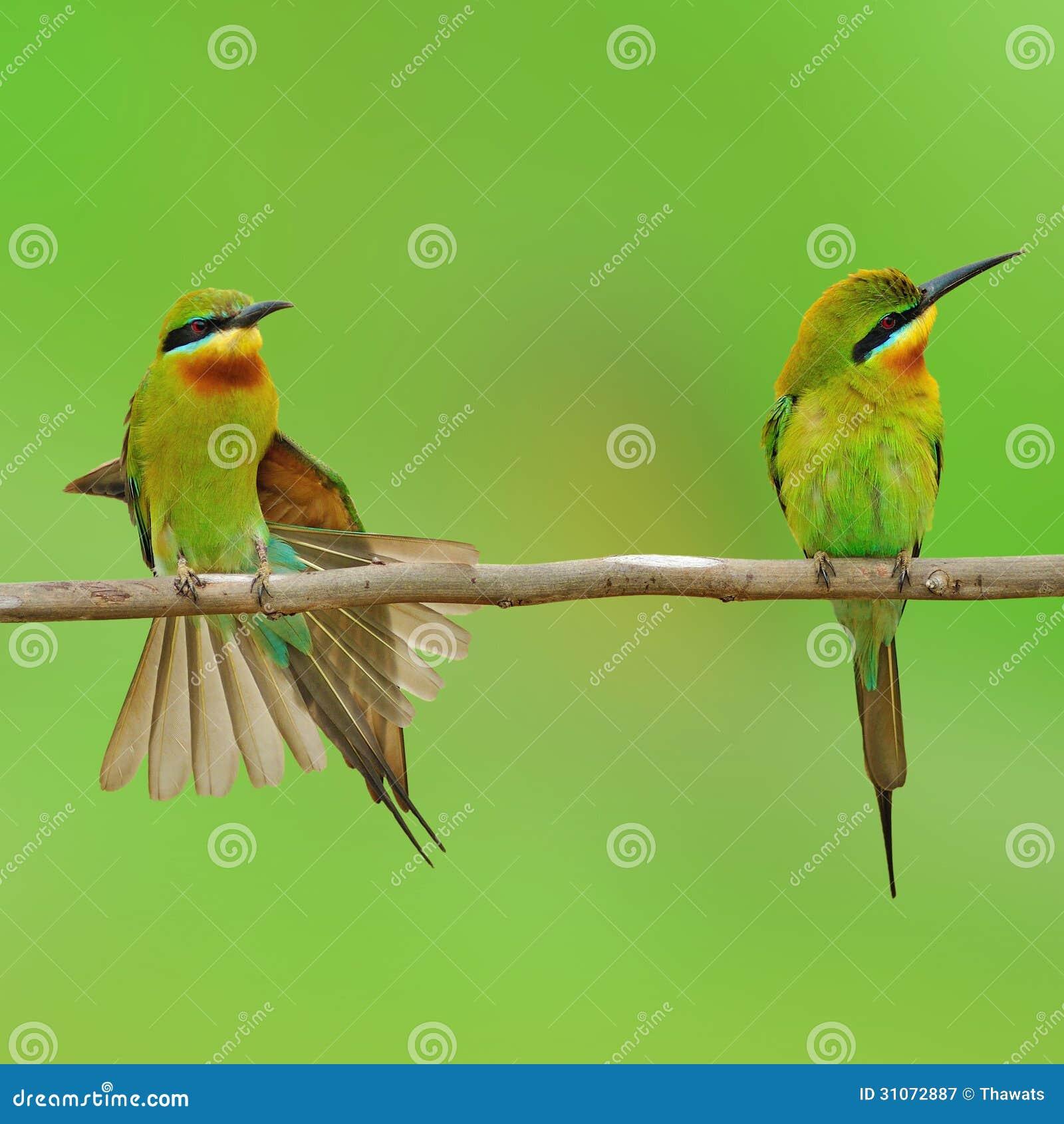 蓝色被盯梢的食蜂鸟鸟