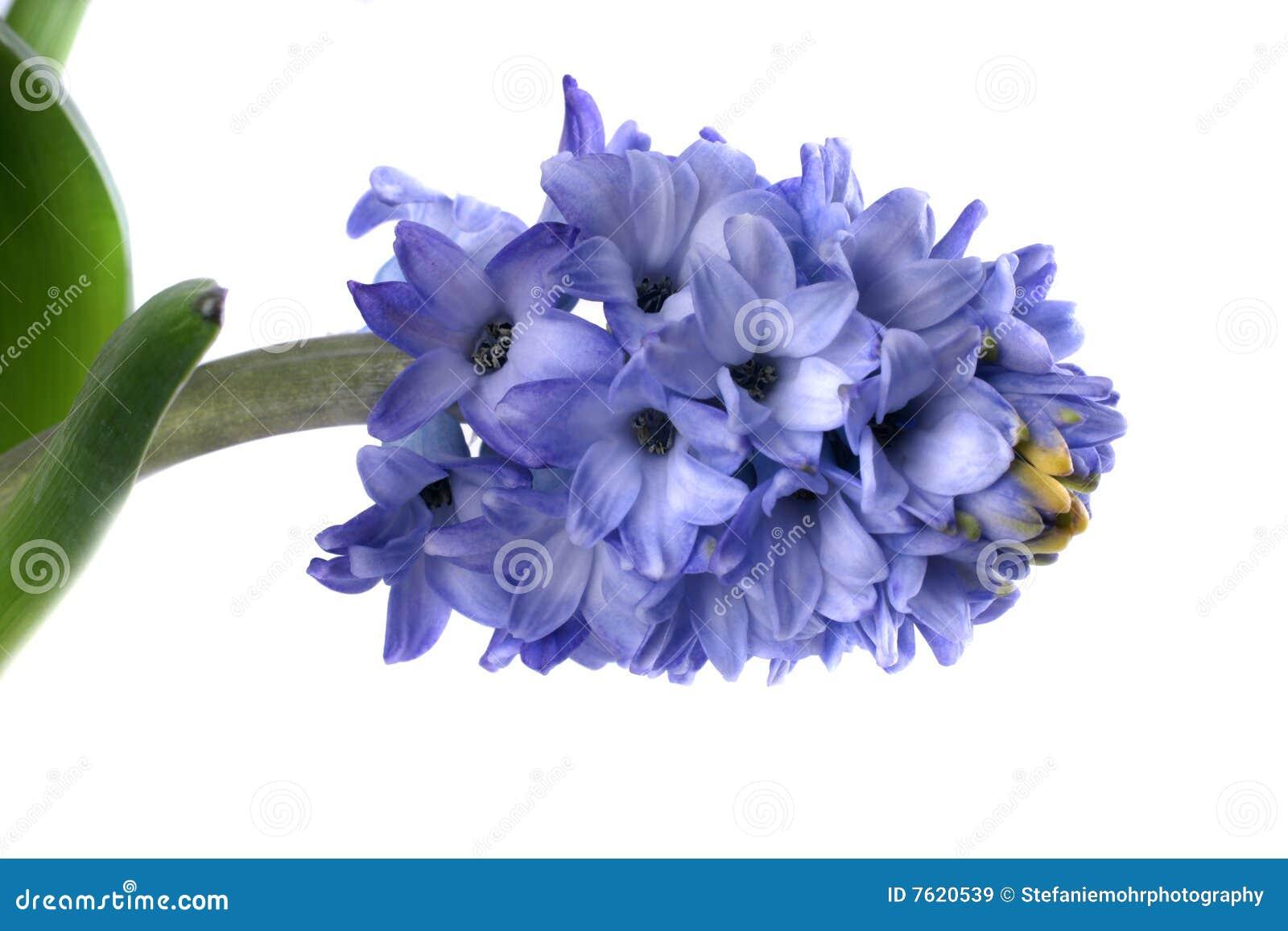 蓝色风信花