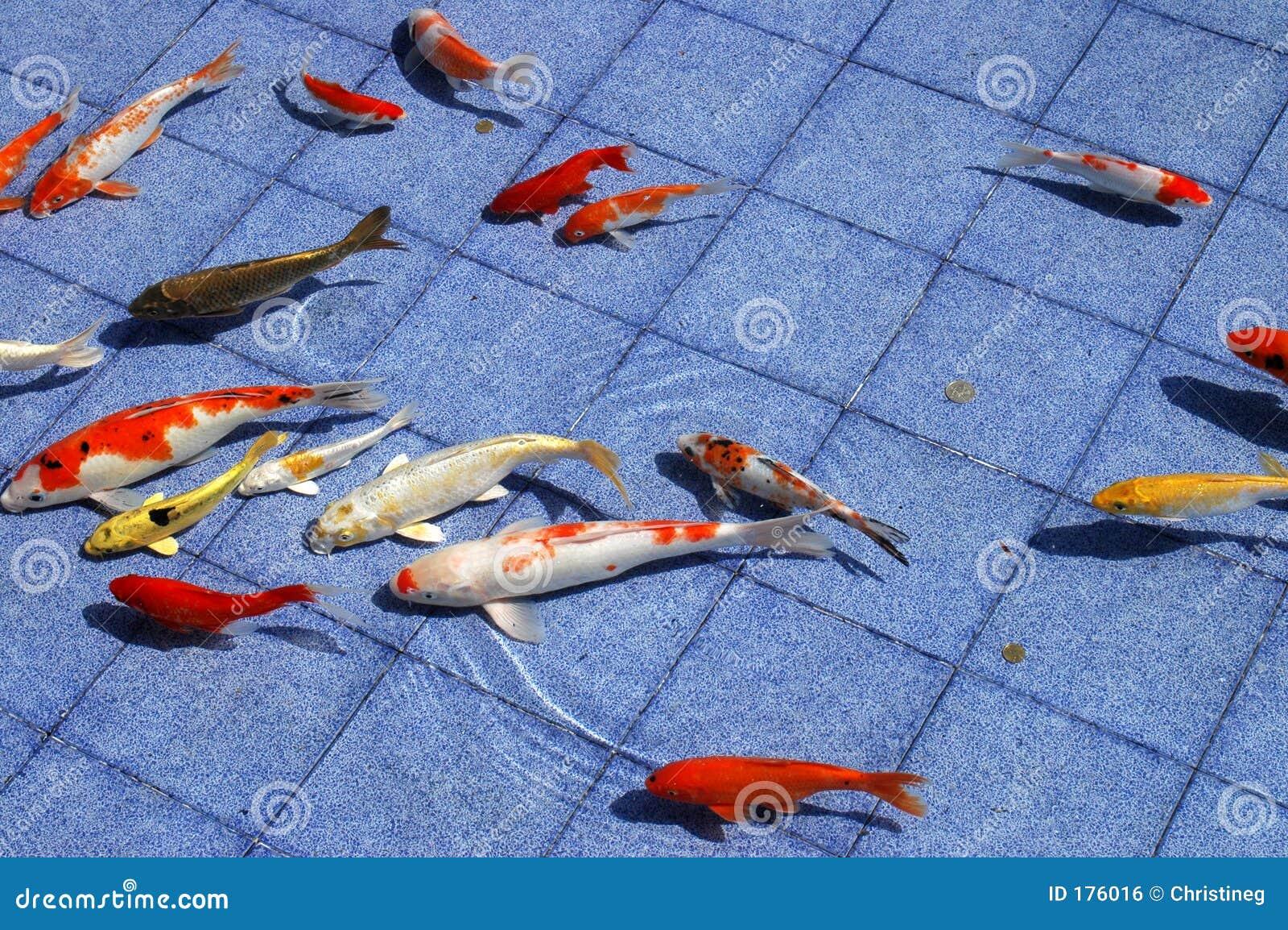 蓝色鱼koi池