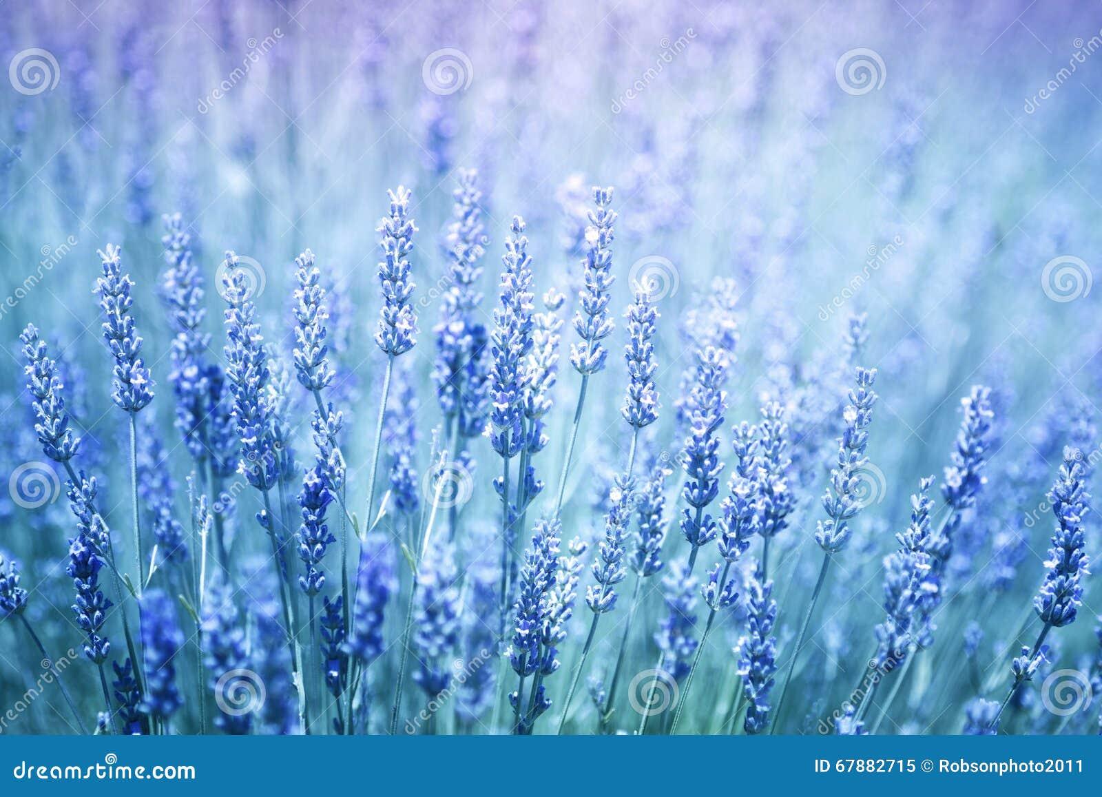 蓝色紫罗兰色开花的淡紫色种植背景